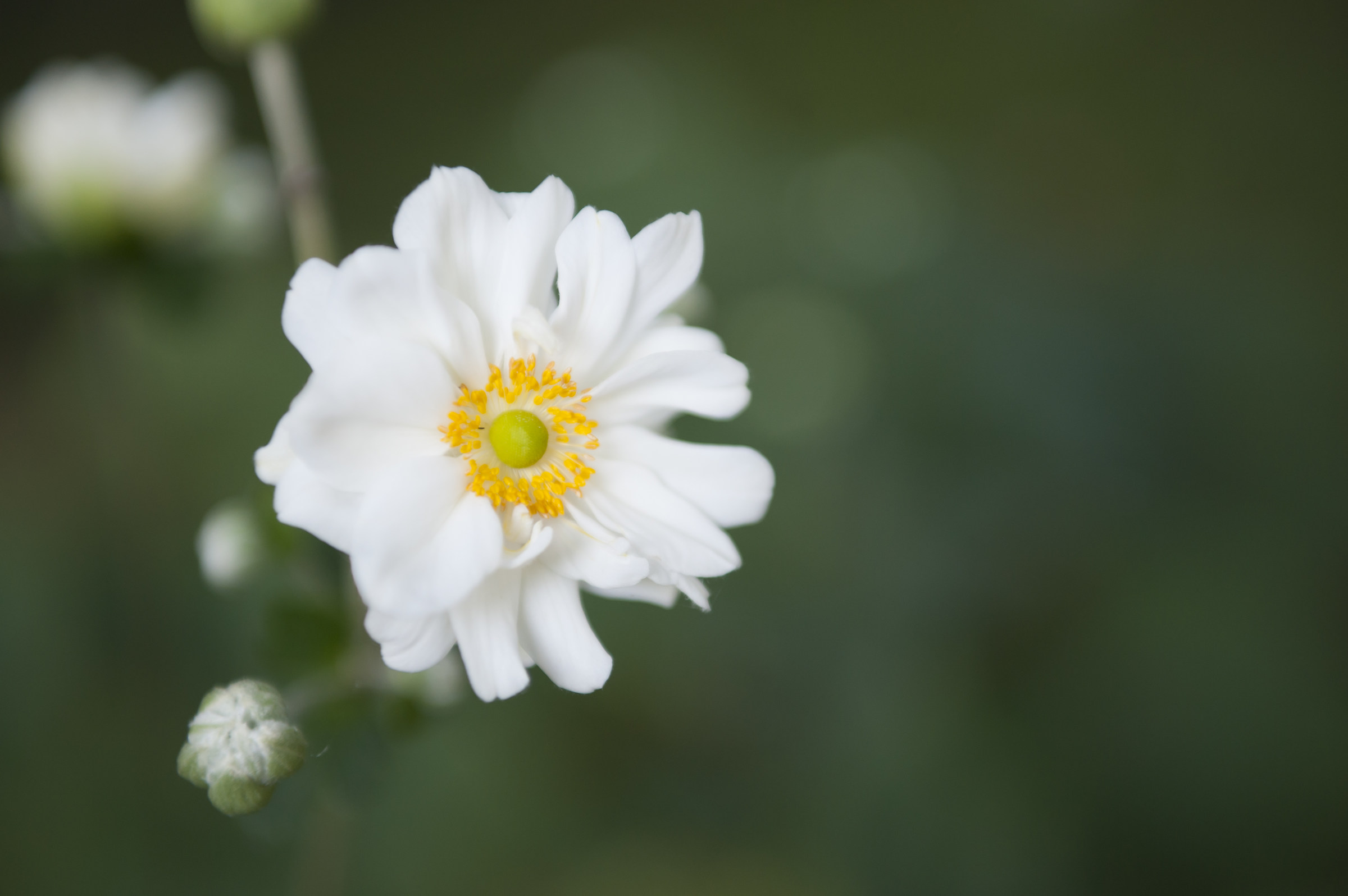 Rosa multiflora...