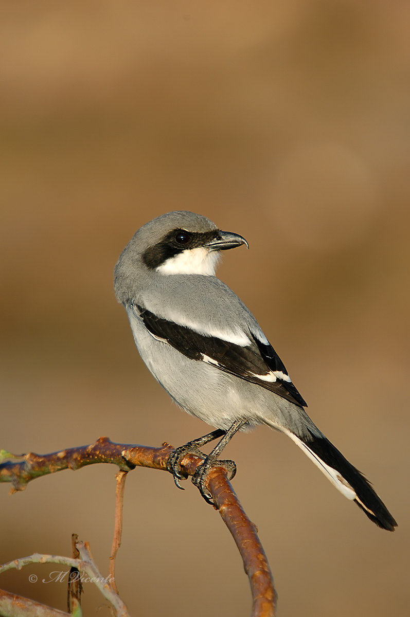 Great Grey Shrike ( Lanius meridionalis ssp koenigi )...