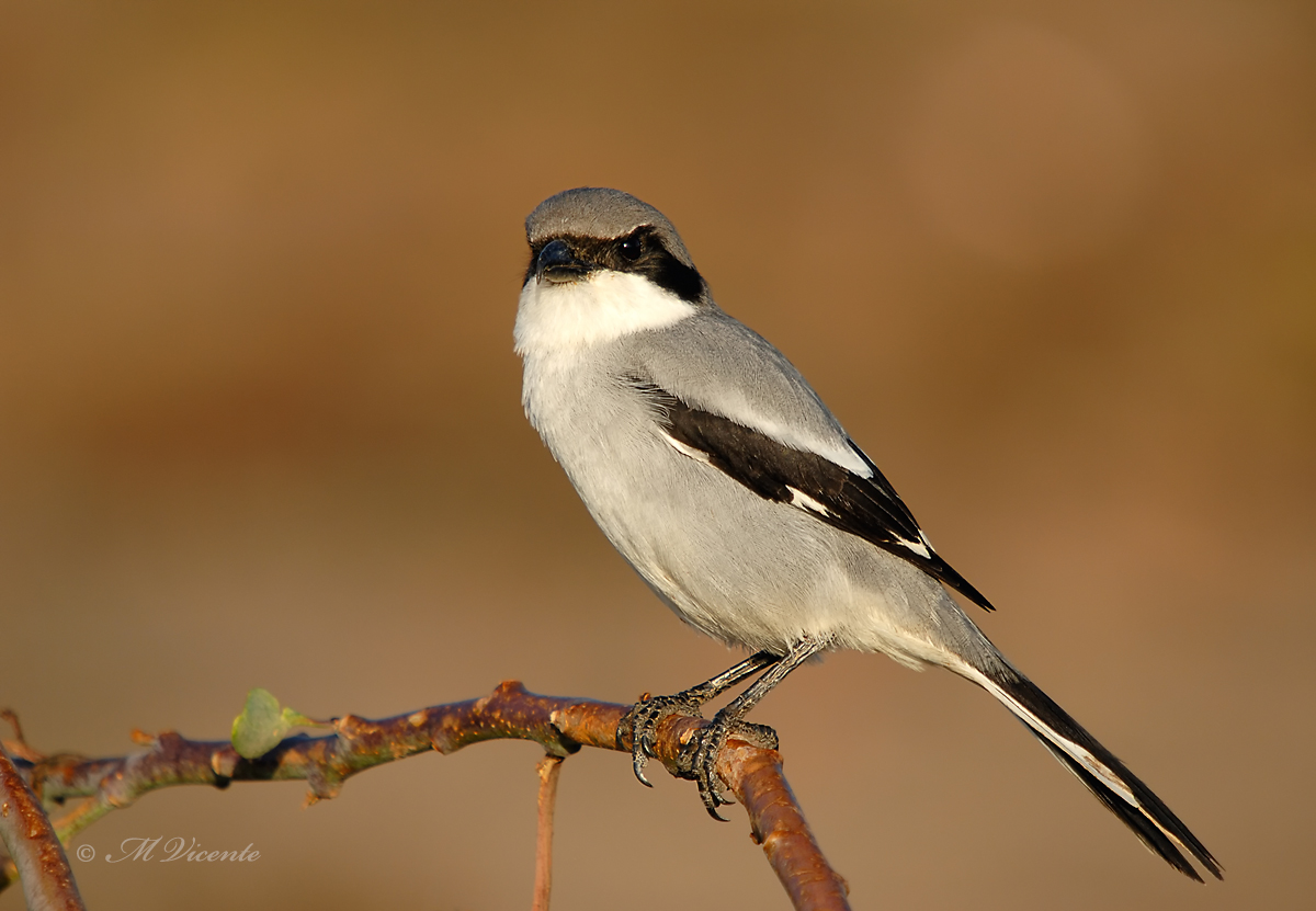 Great Grey Shrike (Lanius meridionalis ssp koenigi)...