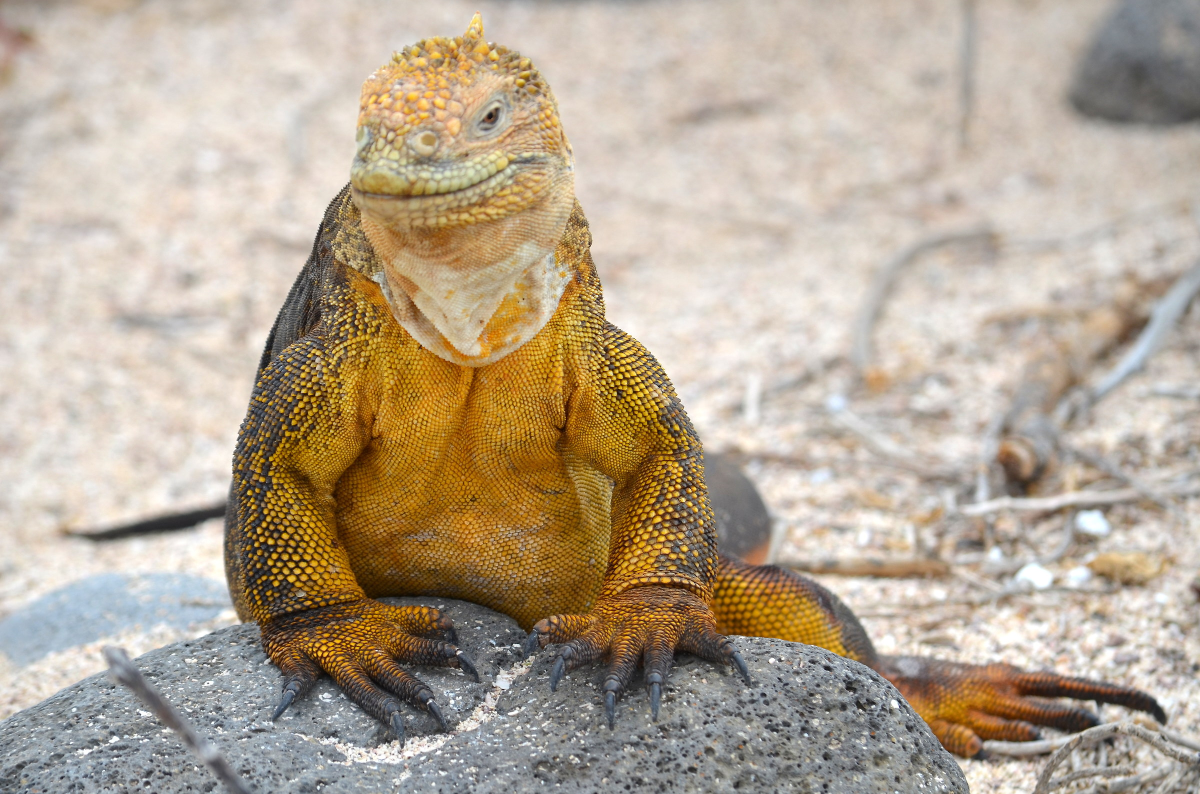 Iguana Terrestre...
