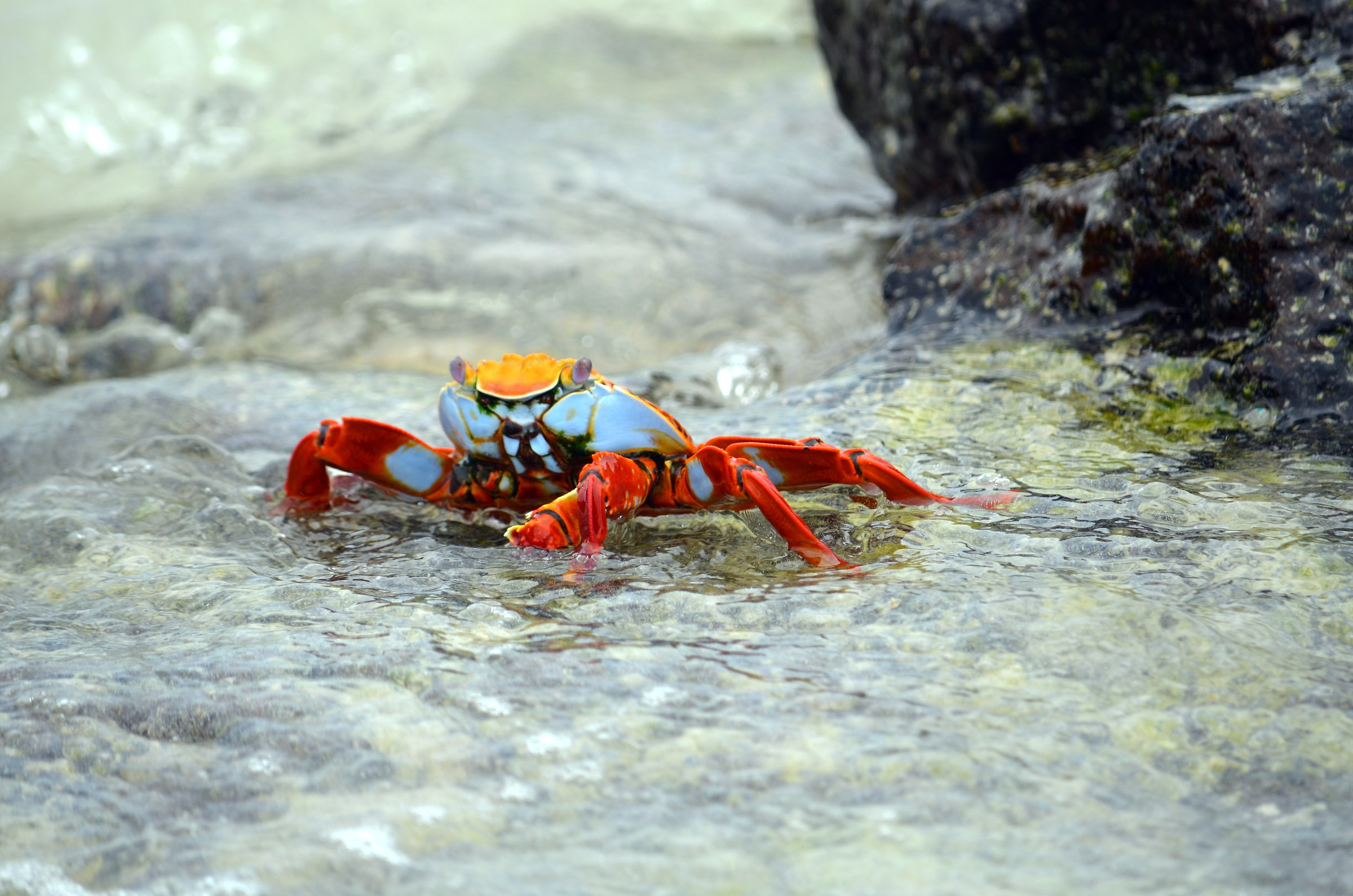 Red rock crab...