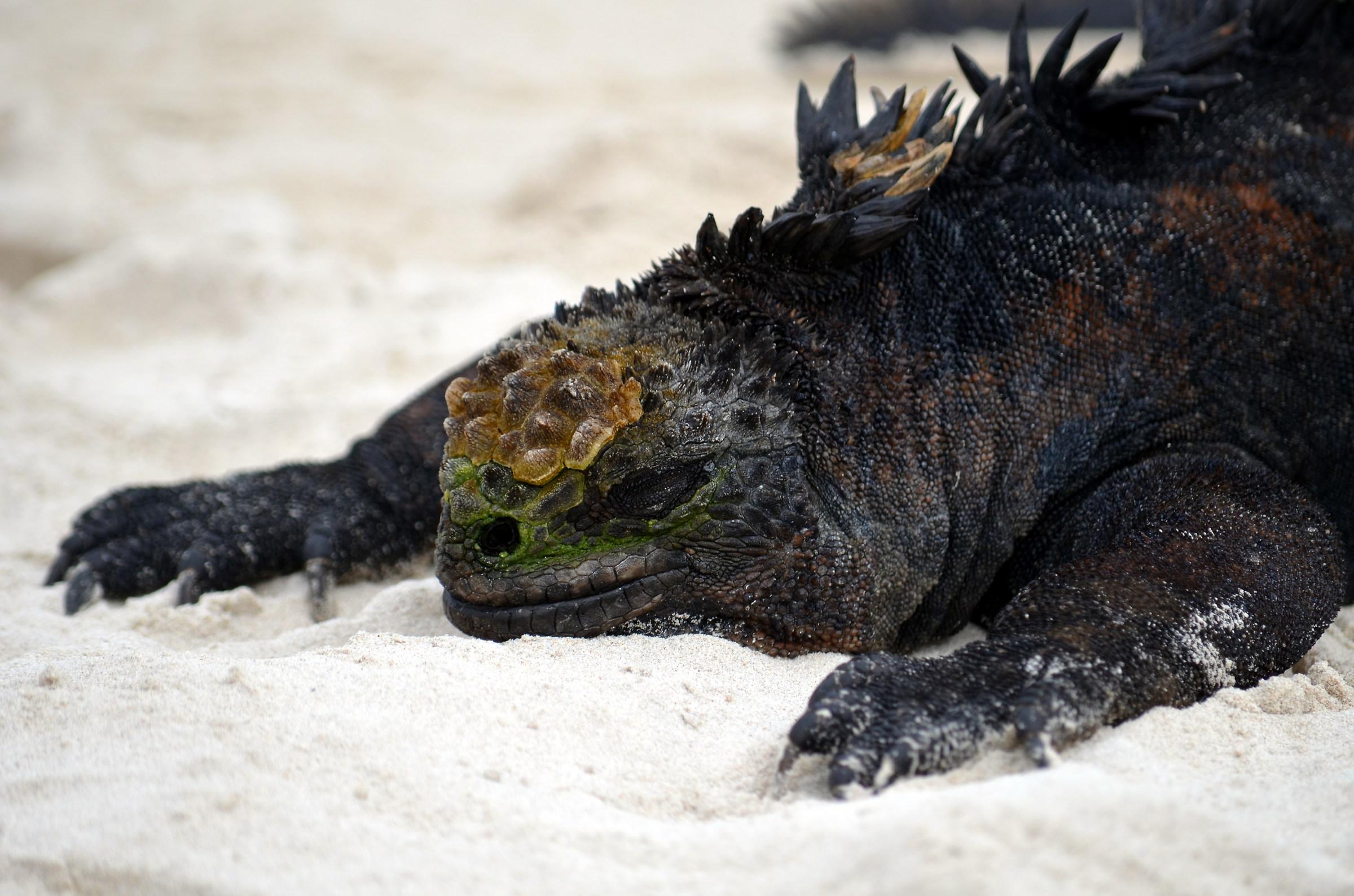 marine iguana...