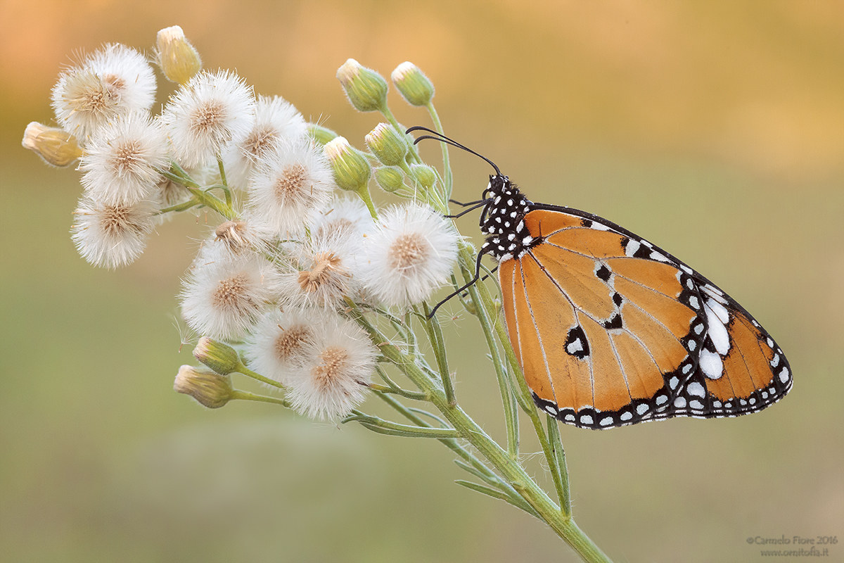 African Monarch (Danaus chrysippus)...