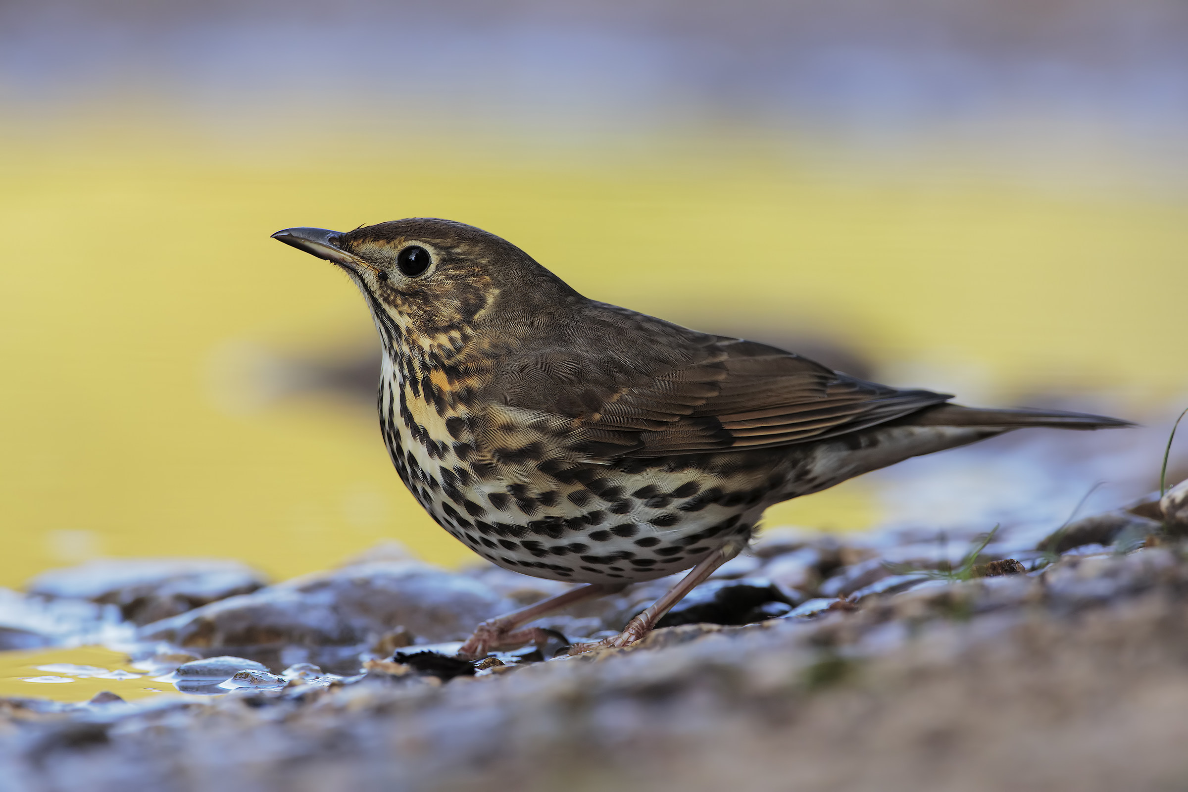 Song Thrush at first light...