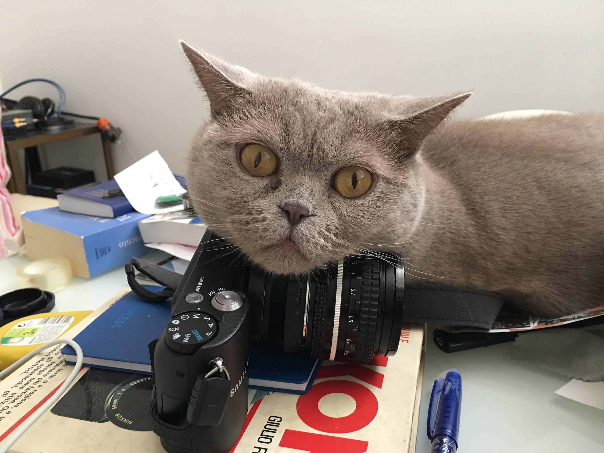 lilac cat...