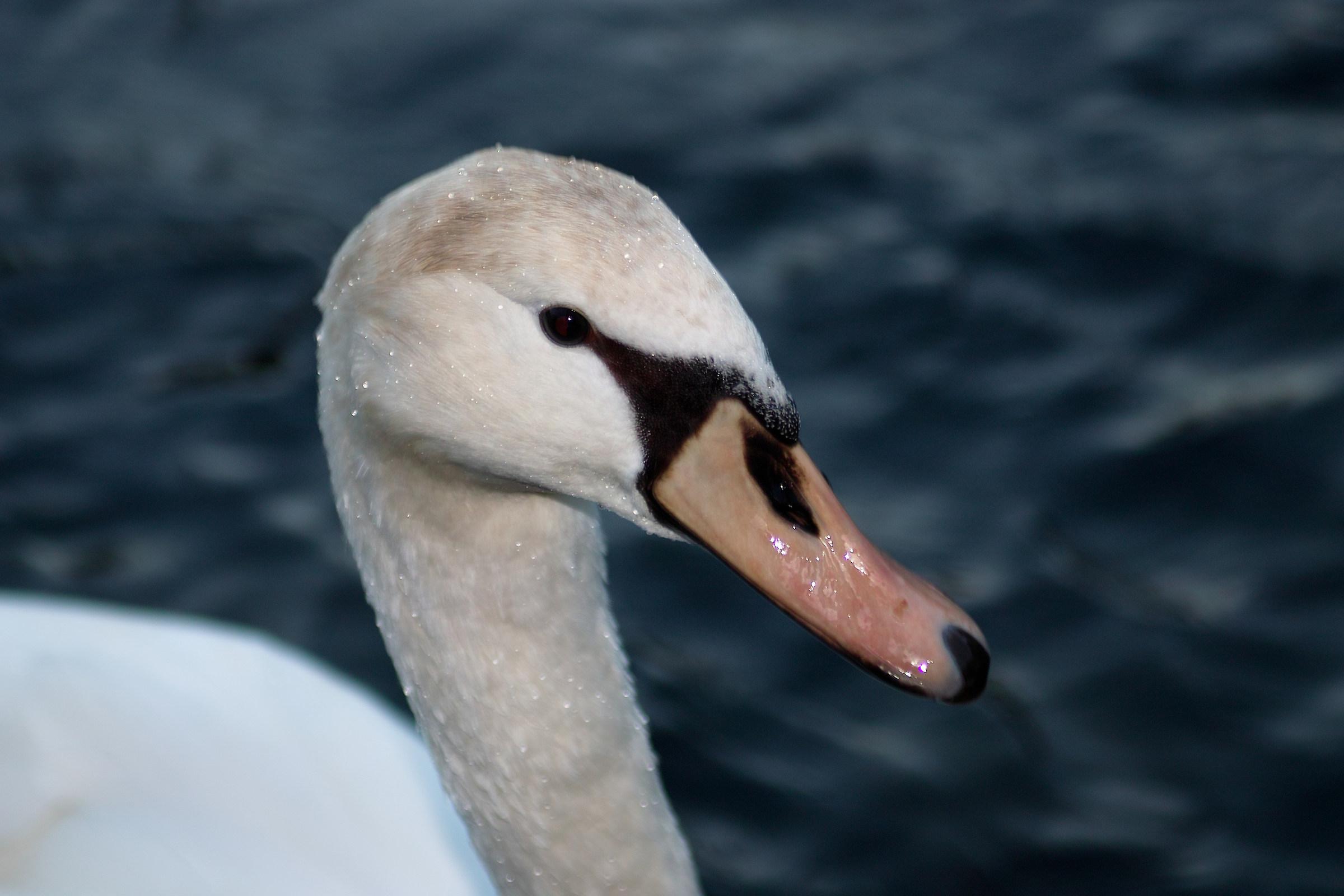 swan......