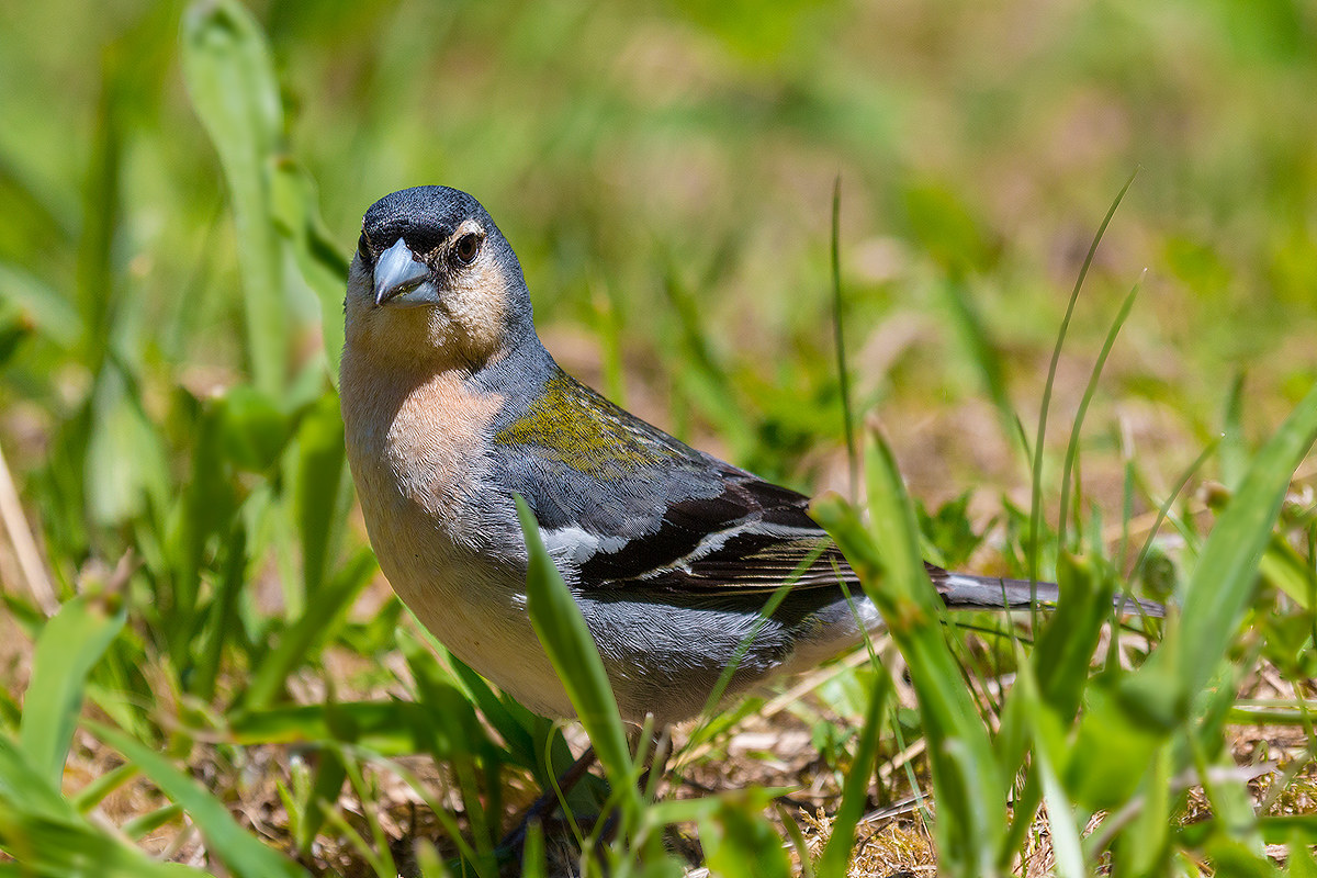 Chaffinch the Azores...