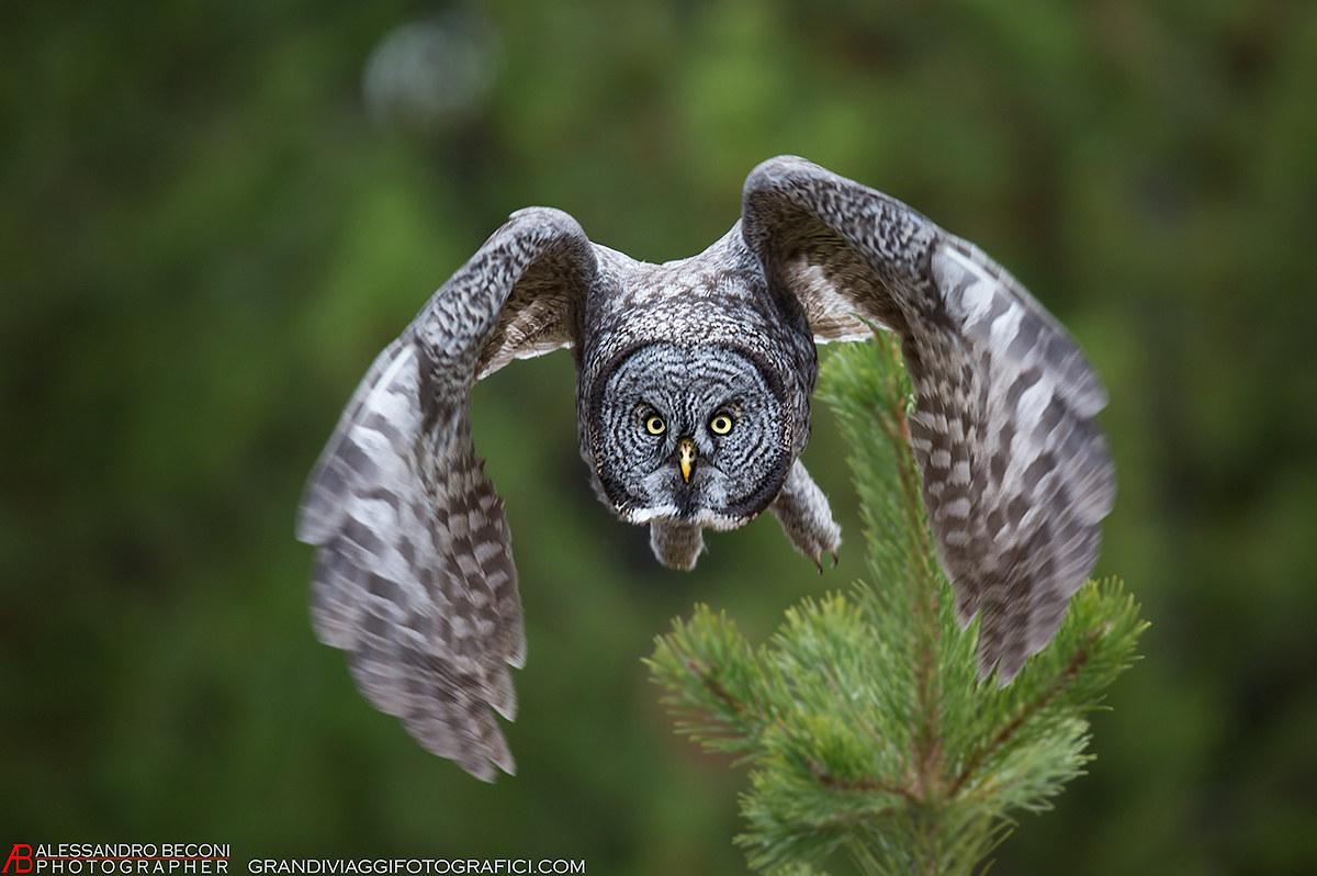 Great Gray Owl...