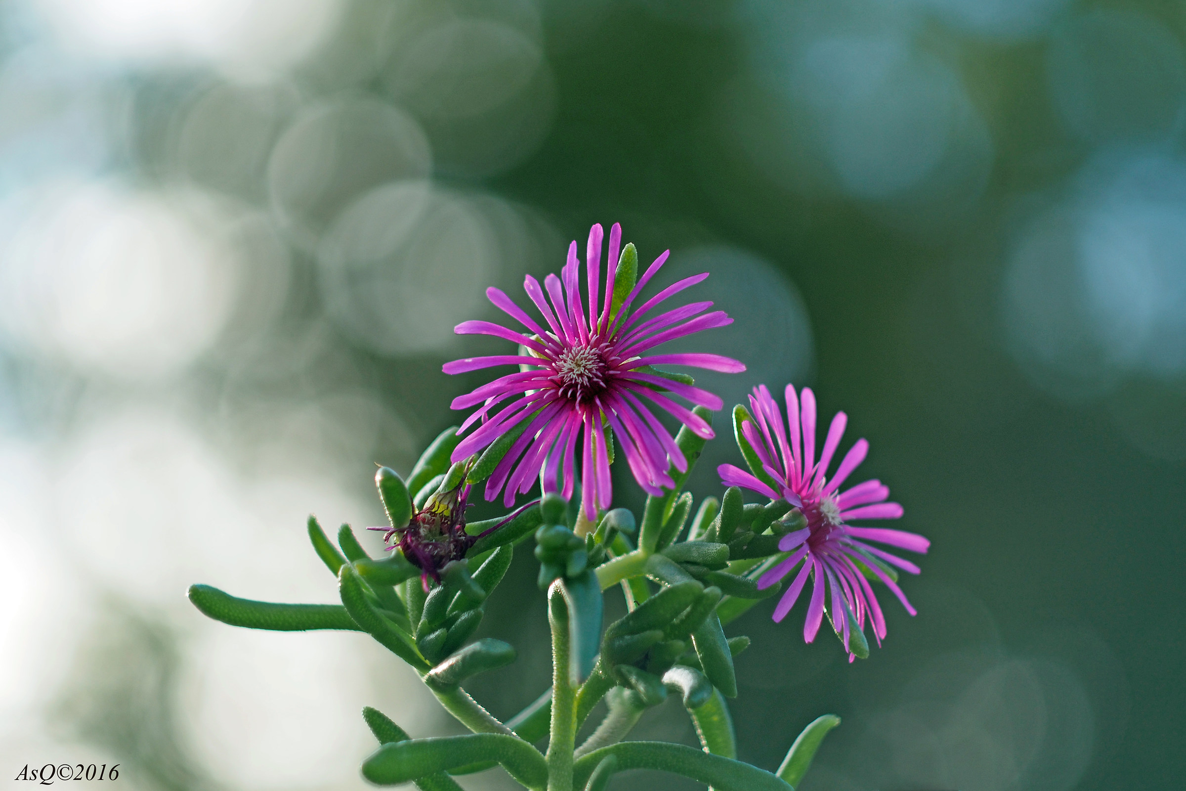 Hardy Pink Ice Plant...