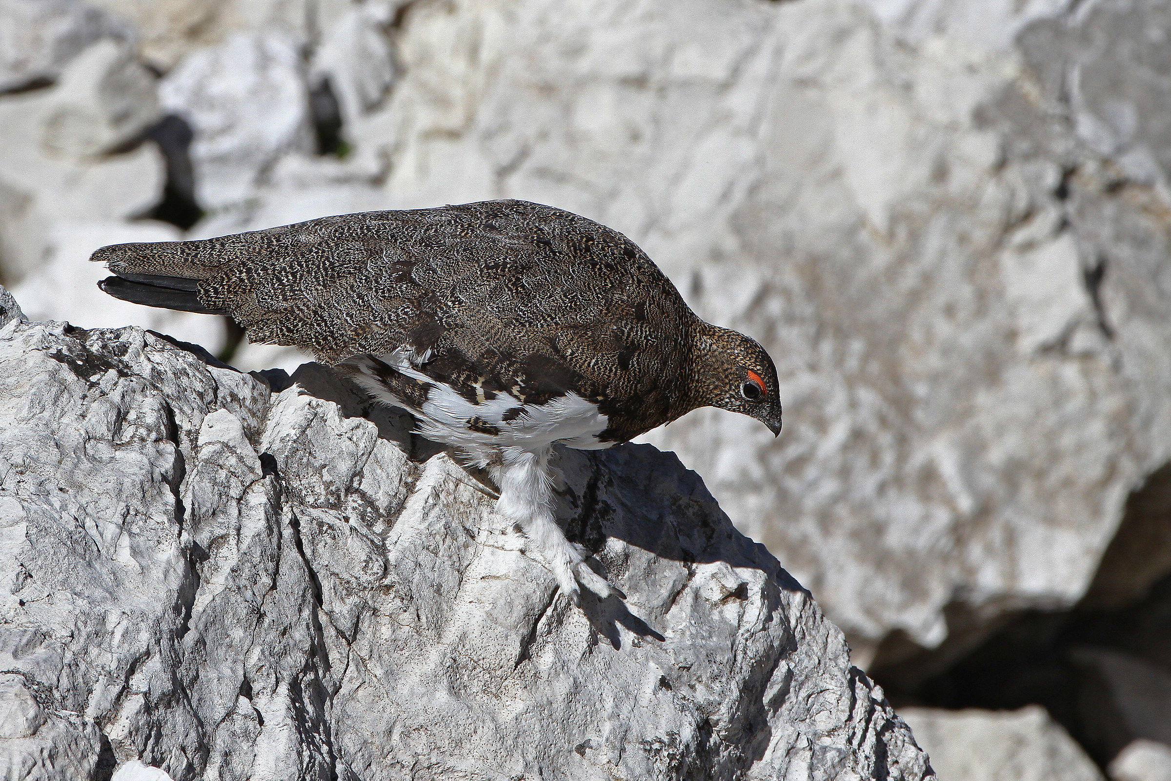 Male ptarmigan in summer plumage - Dolomites...