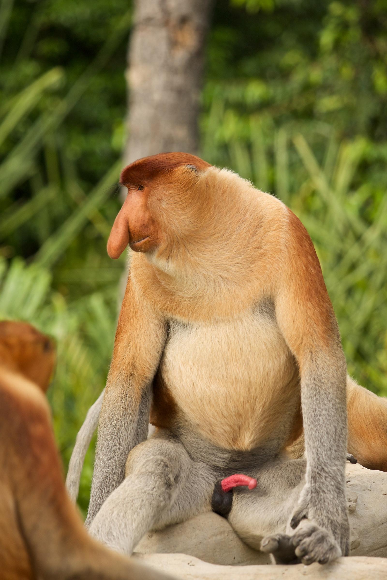 Malaysia 2014: Monkey Proboscis Monkey (Proboscis Monkey)...