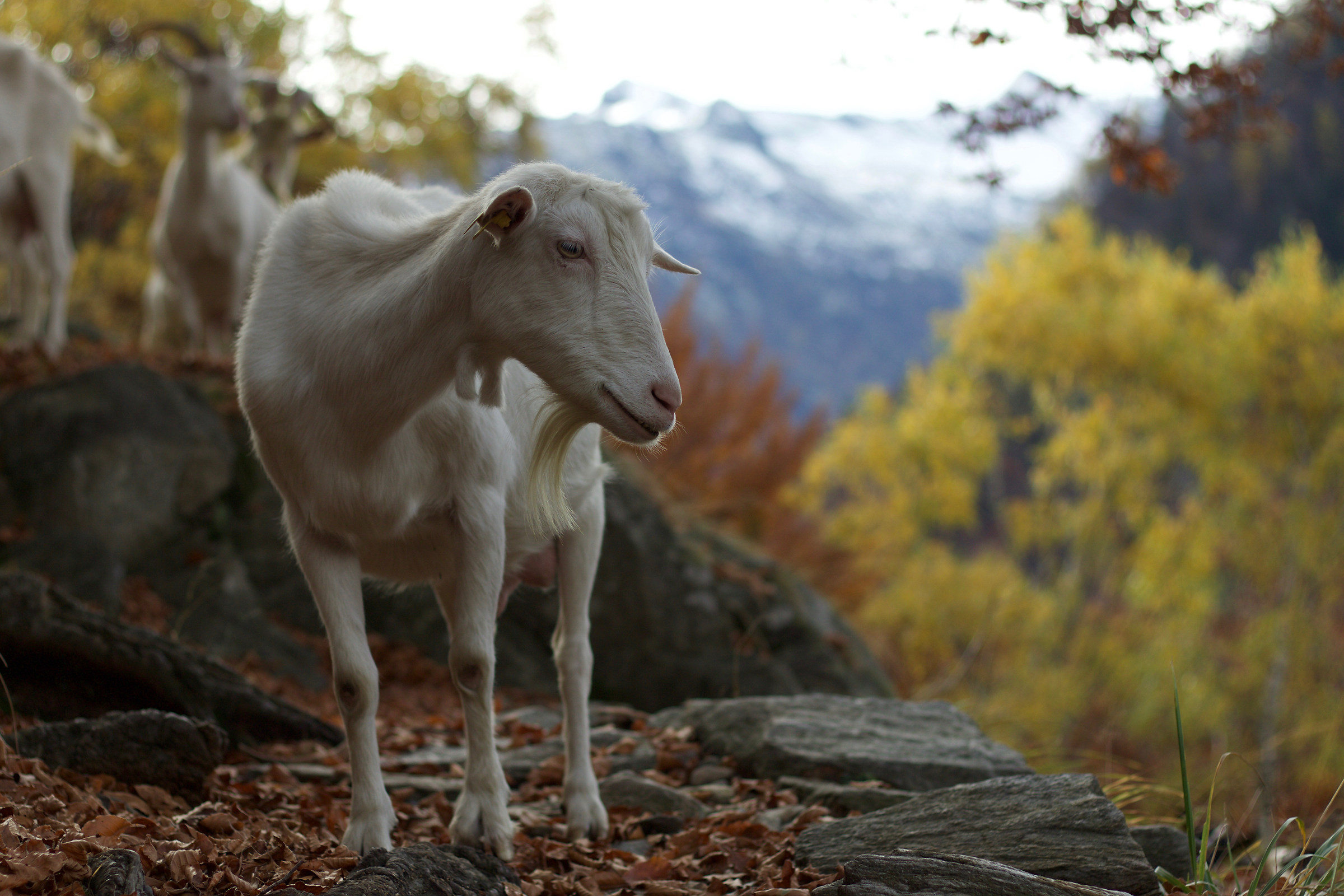 Val Vigezzo: chance encounters during a walk...