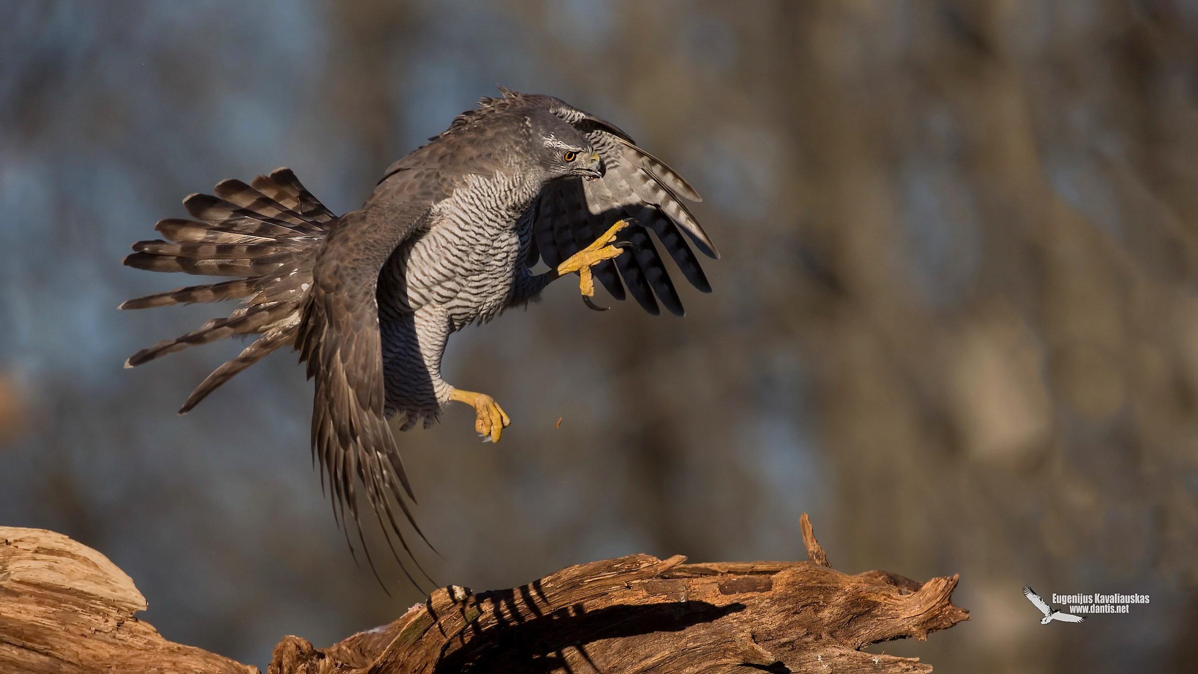 Goshawk (Accipiter gentilis)...