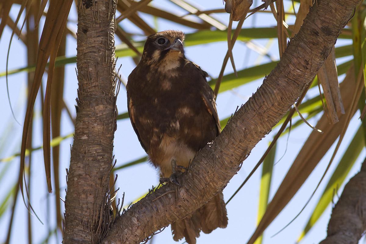 brown falcon...