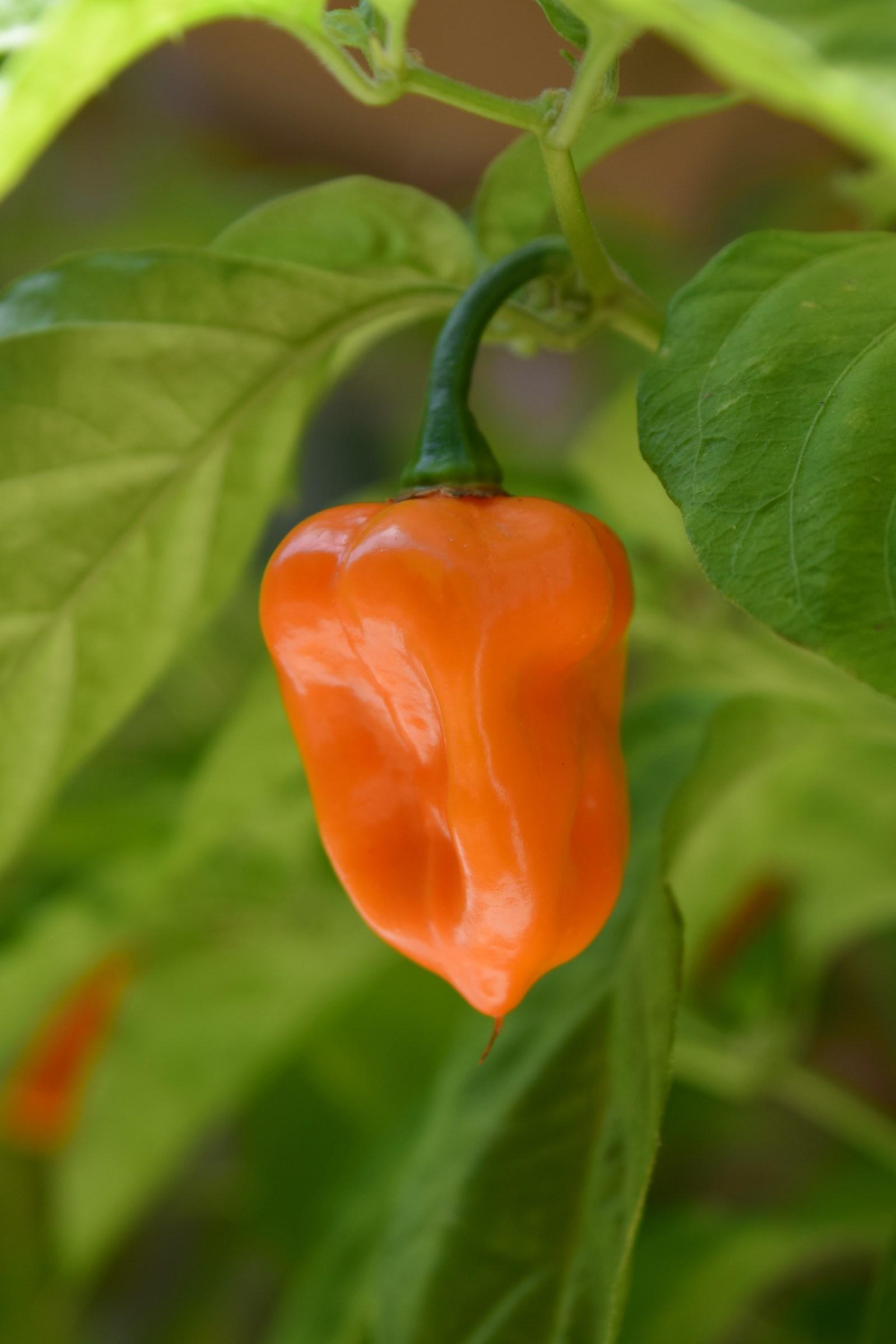 Habanero Orange...