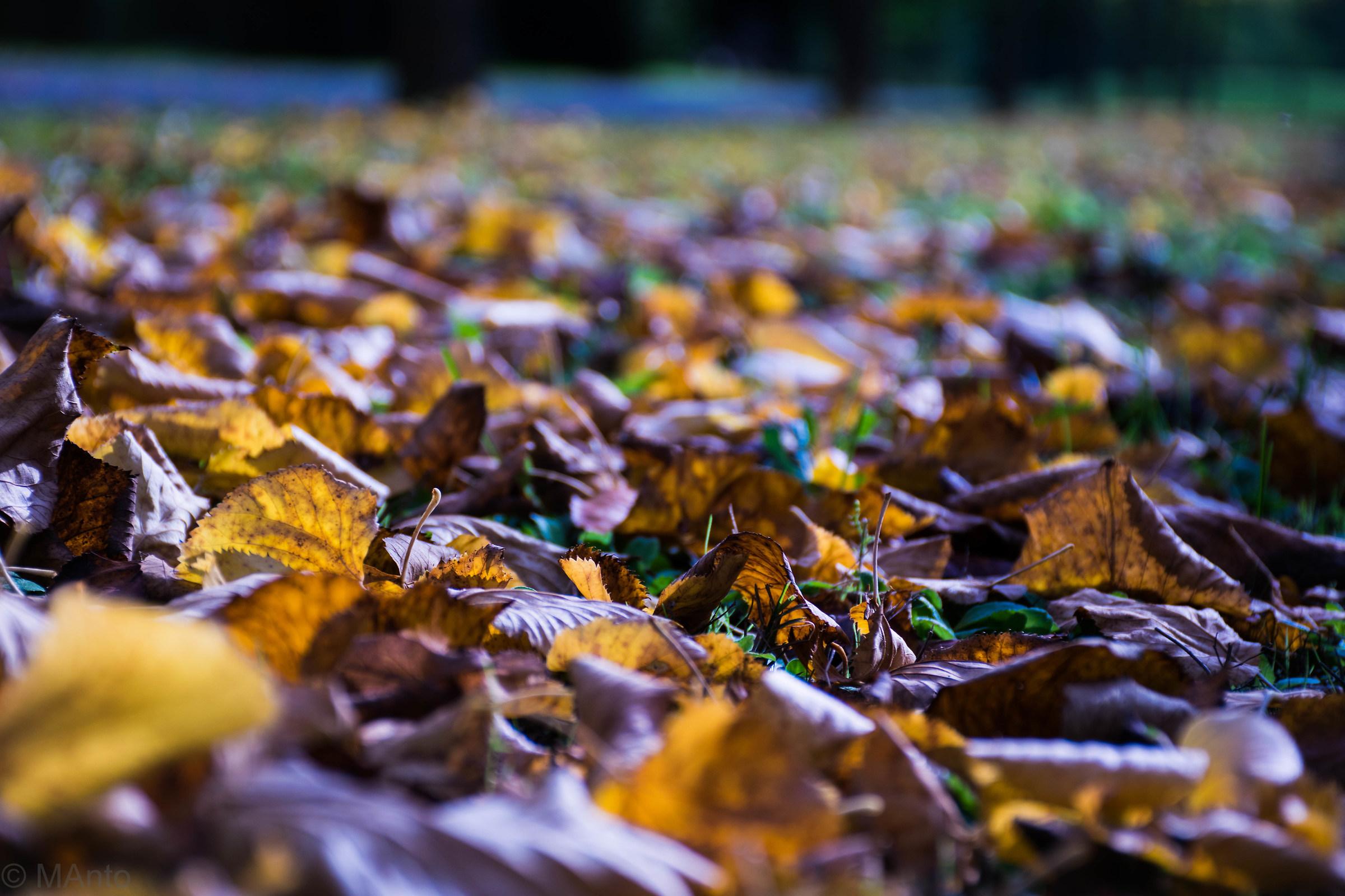 carpet of dead leaves...