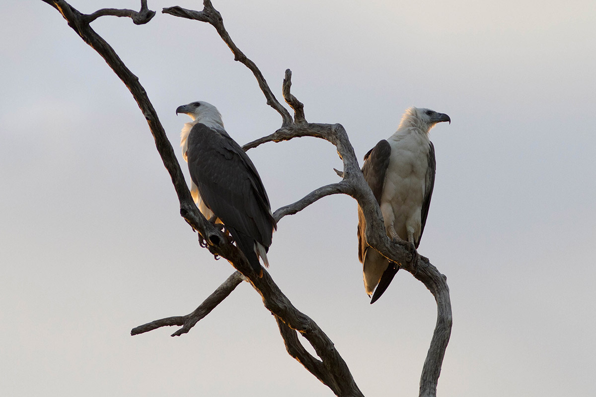 Couple at sunset Brahminy Kite...