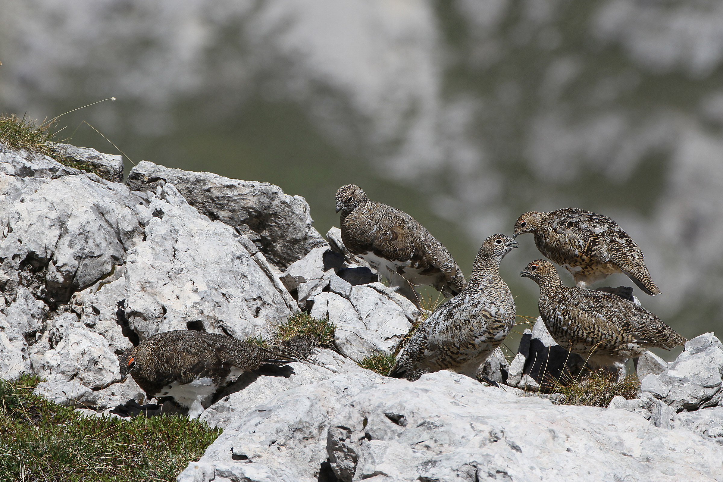 ptarmigan in summer plumage - Dolomites...