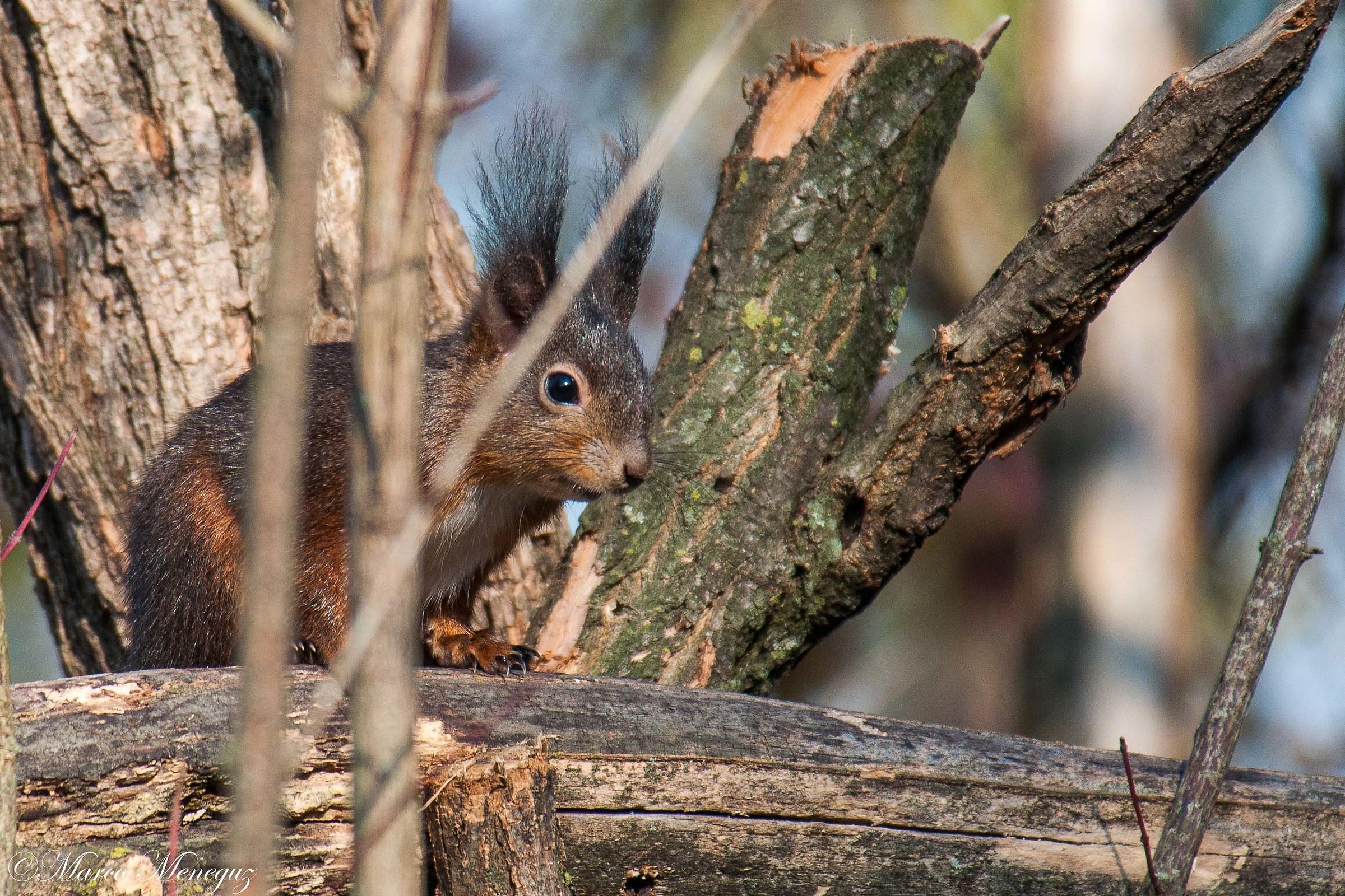 brown squirrel...