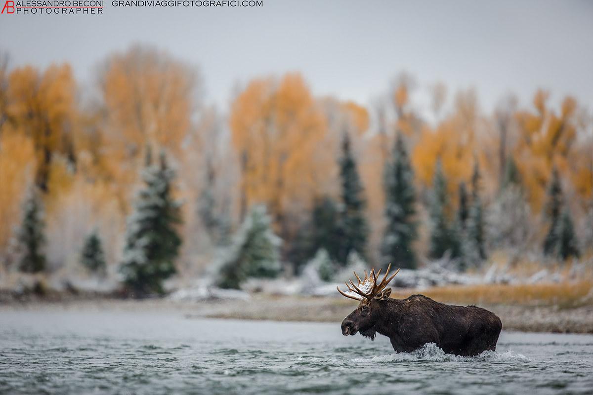 Moose in the snake river...