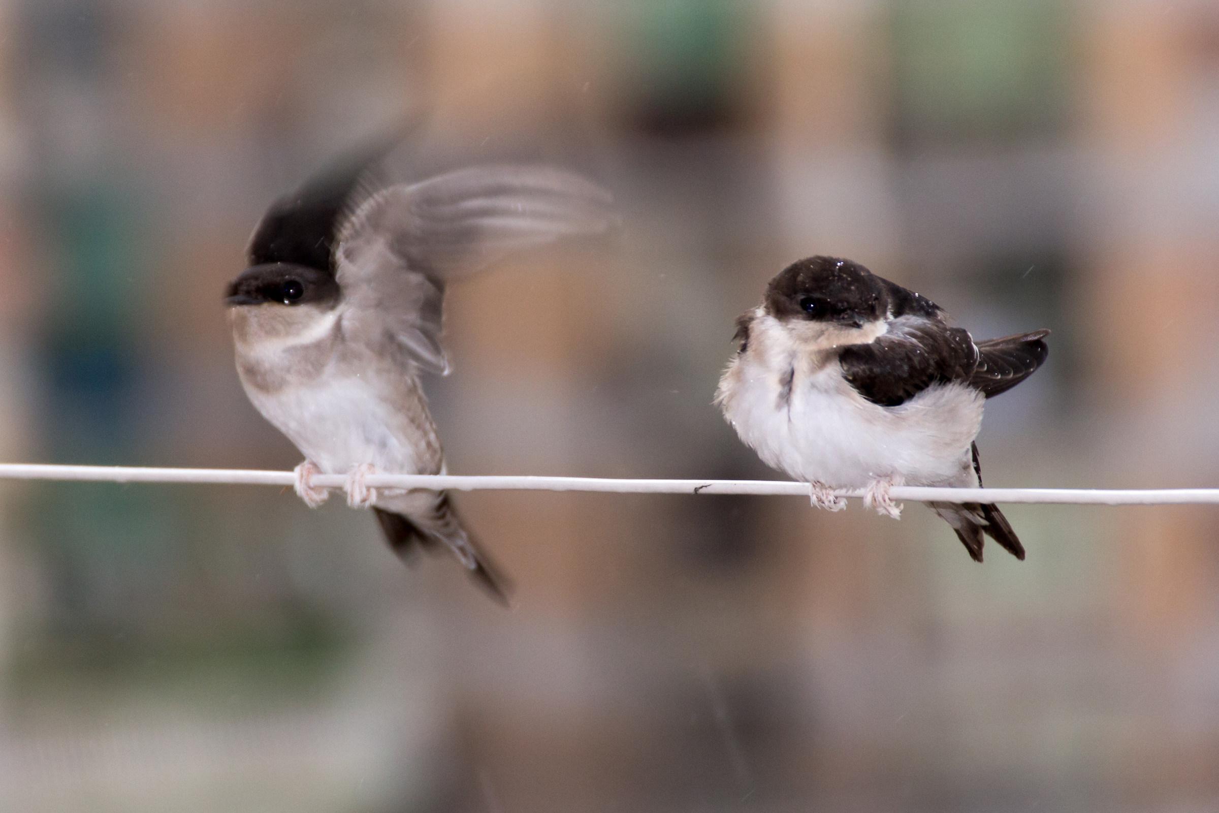 Swallows to the balcony...