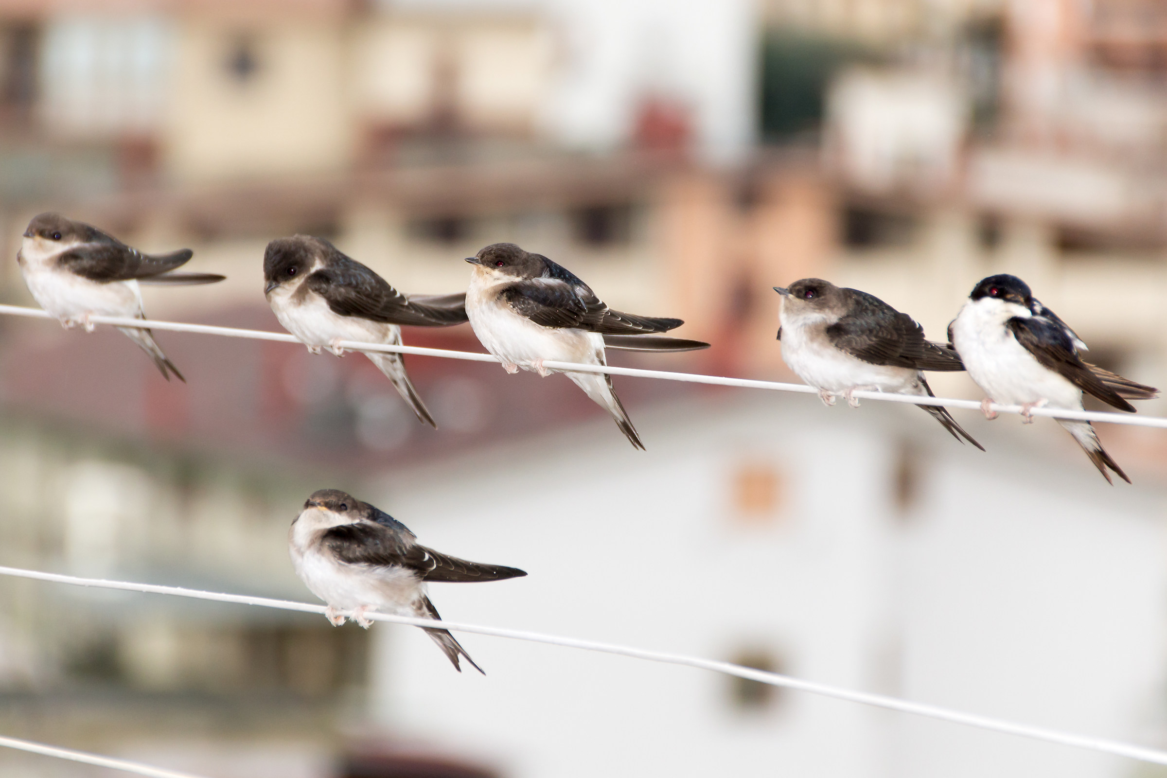 Swallows to the balcony...