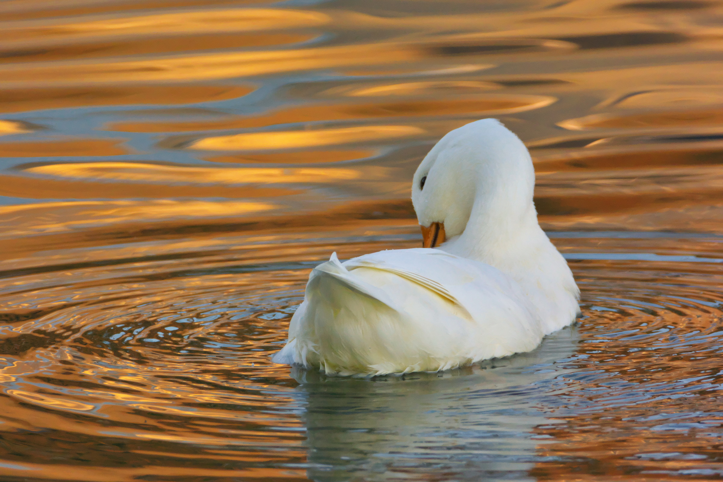 Duck at sunset...