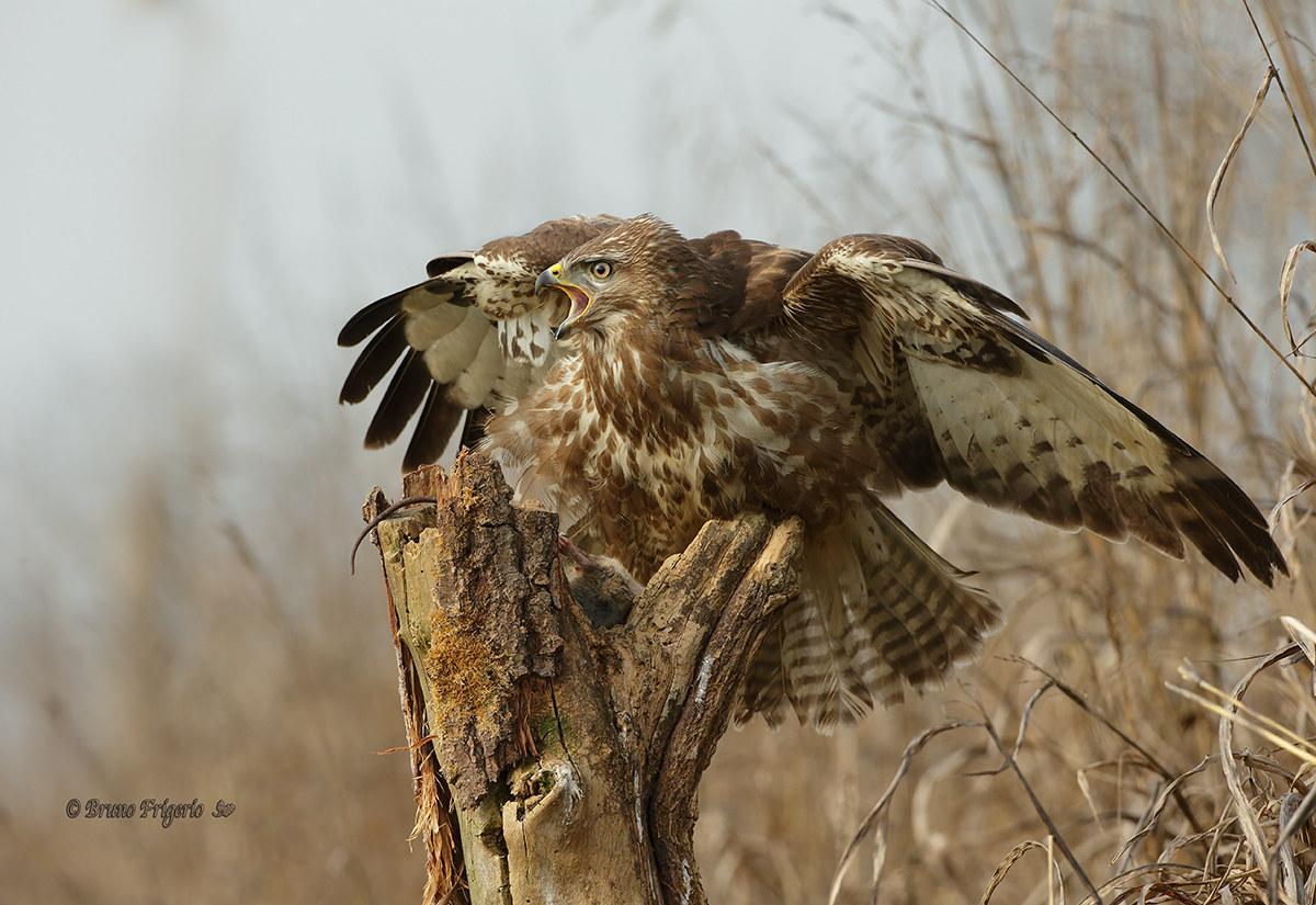 Poiana defends the prey...