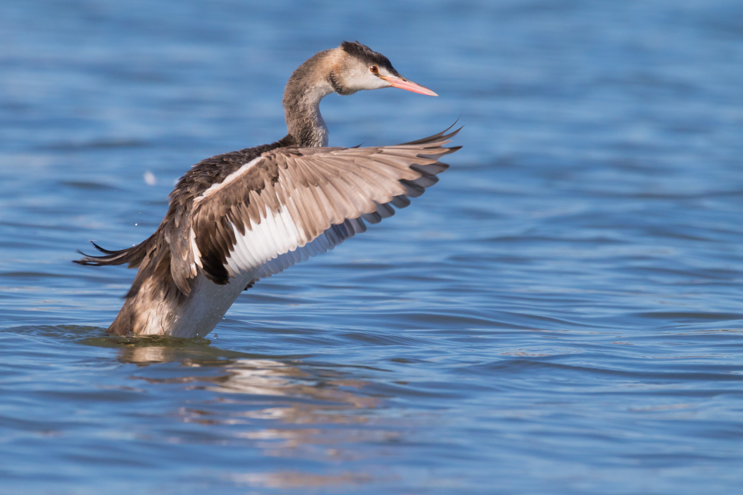 Great Crested Grebe young...