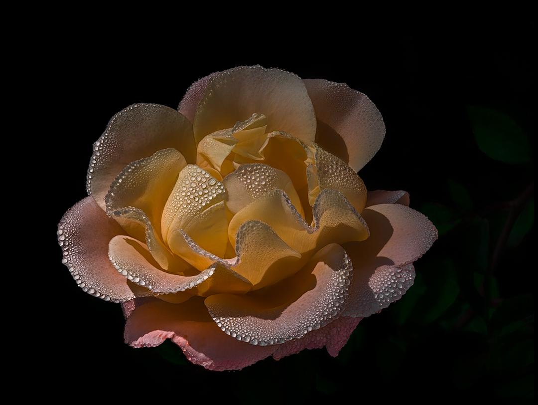 Rosa October...