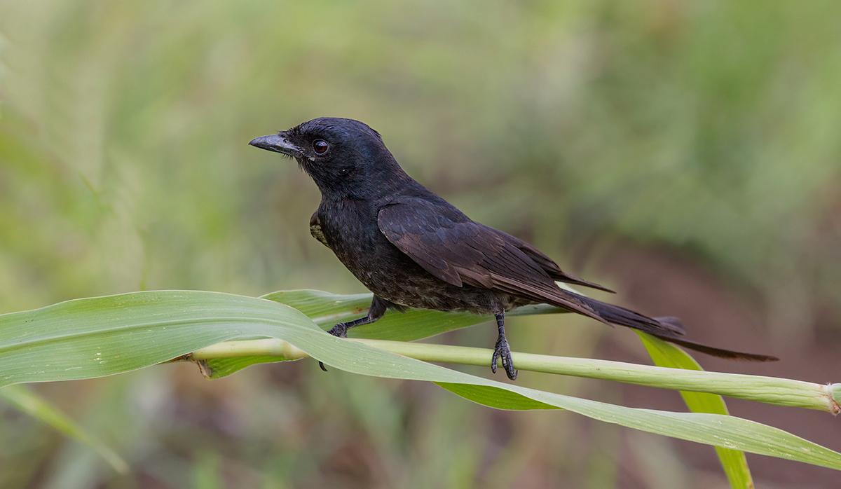 Black Drongo....