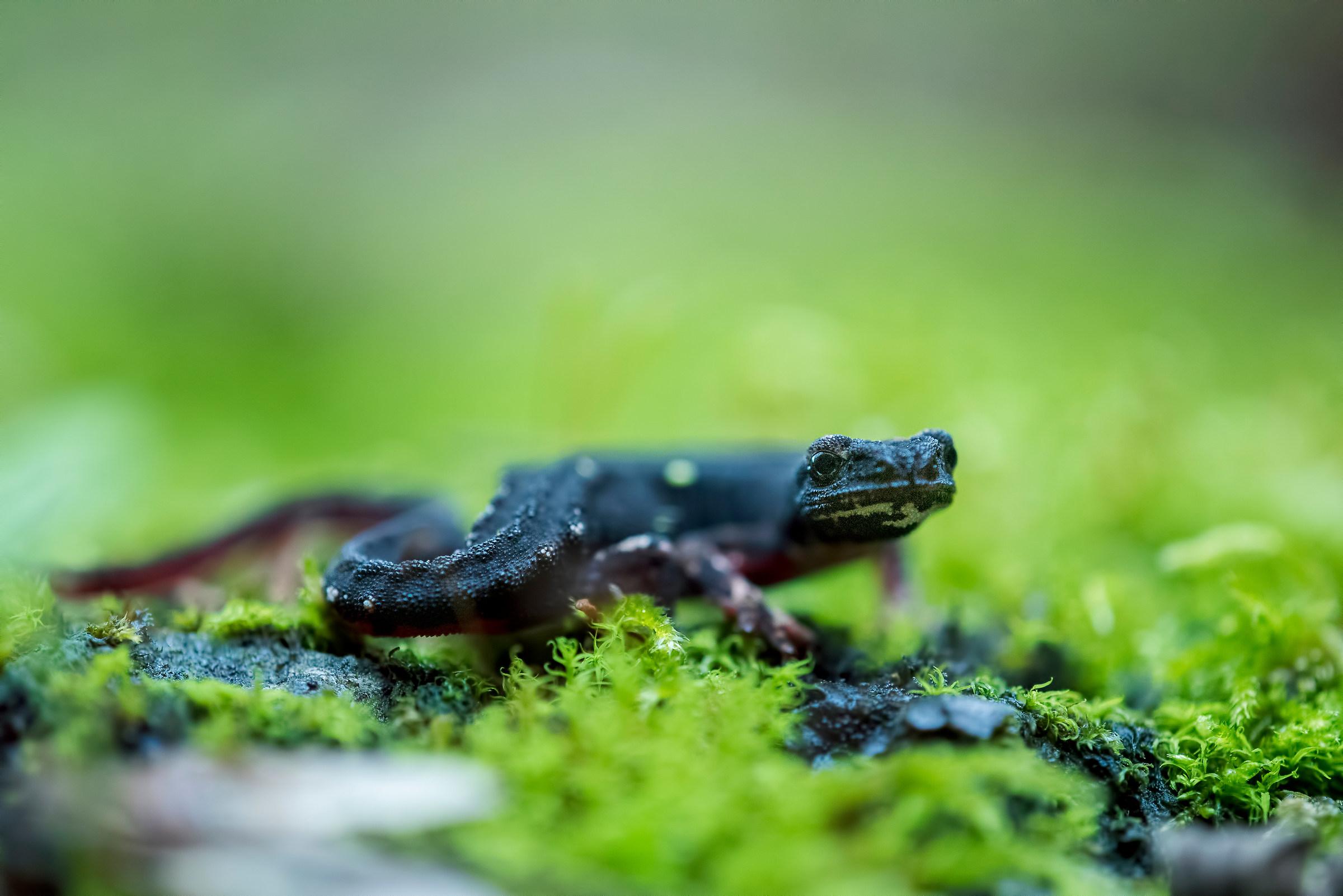Spectacled salamander...
