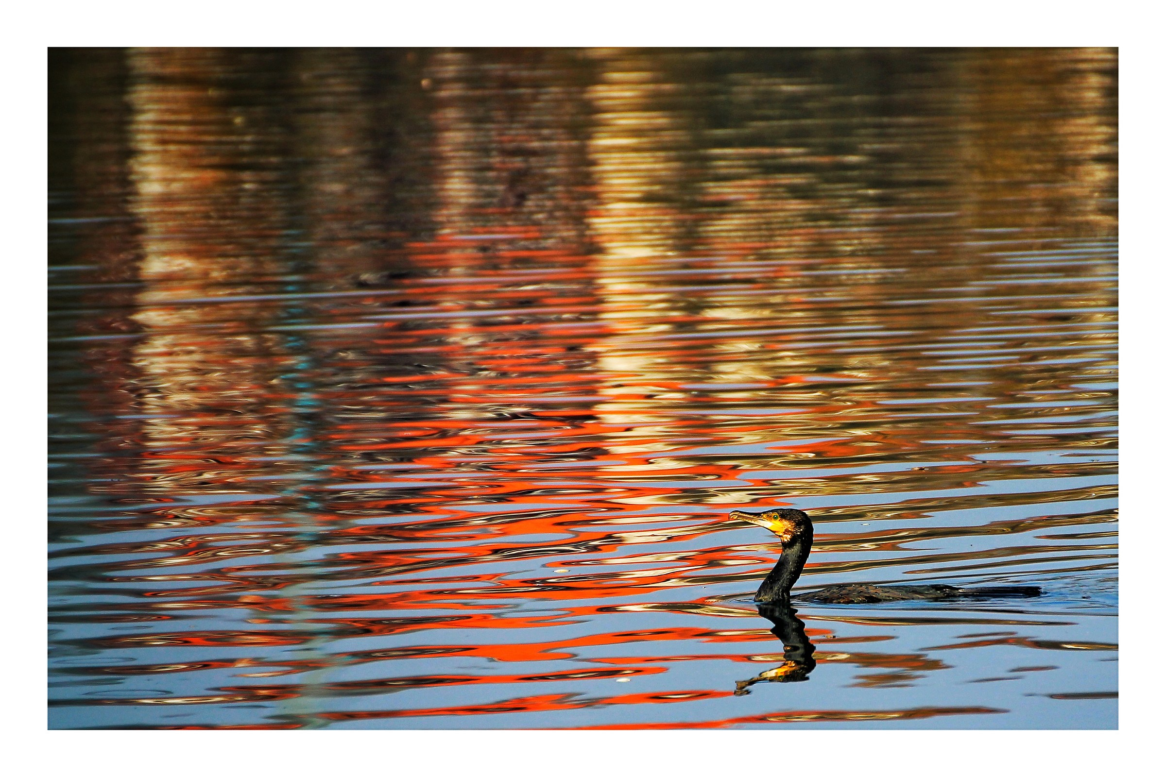 the cormorant...