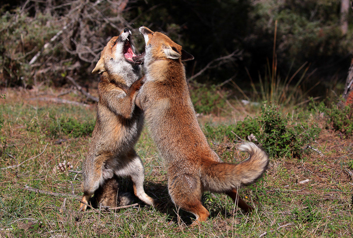 Fight between foxes...