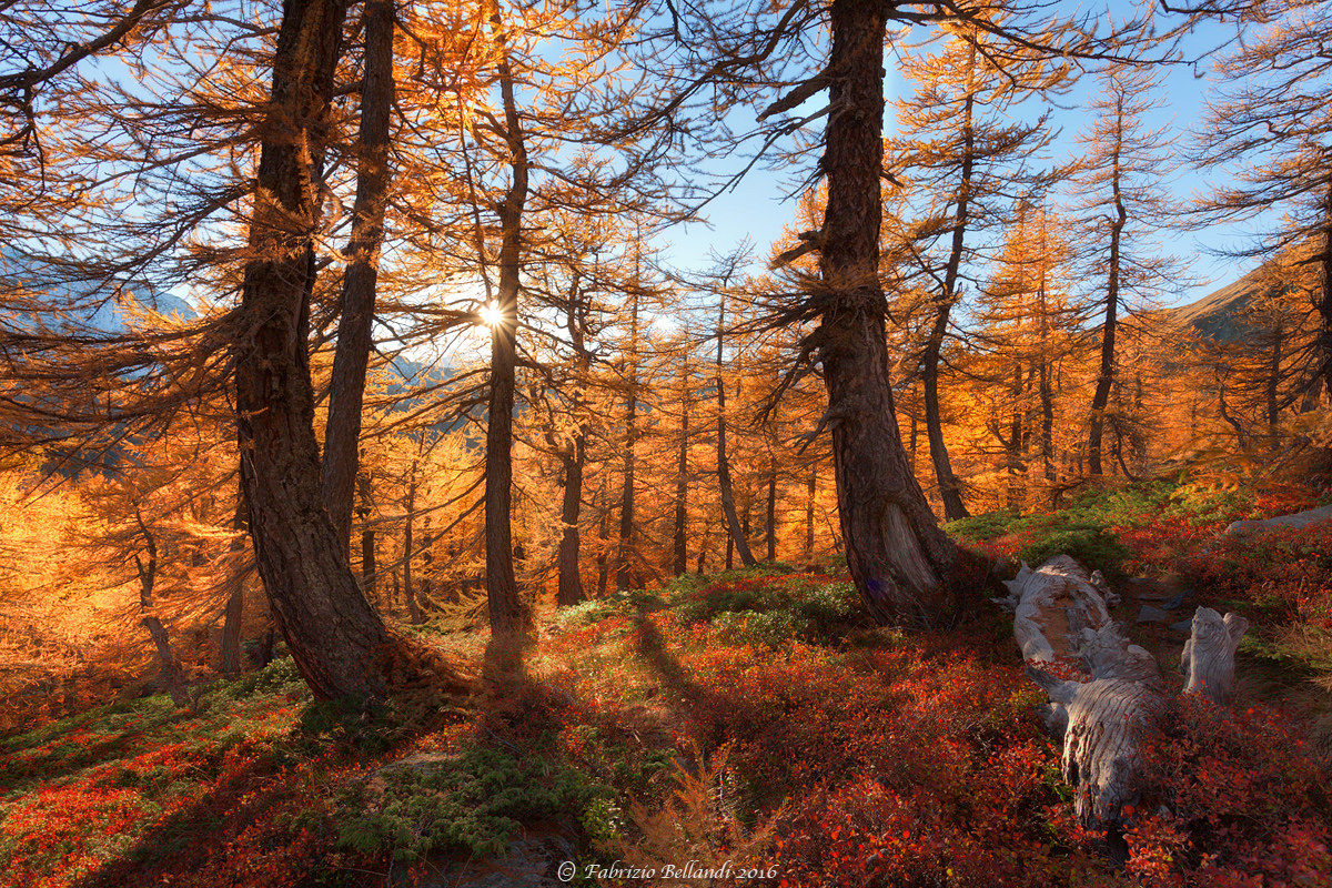 Larch and bilberry...