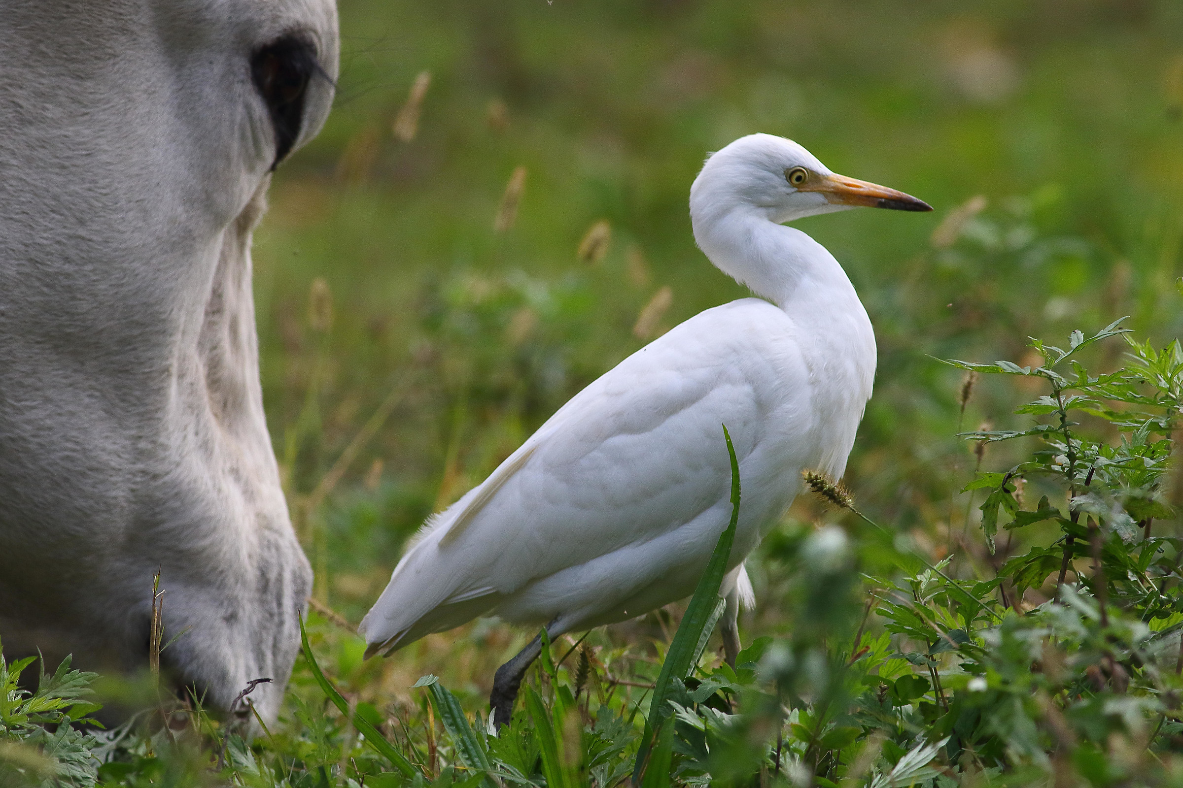 cattle egret...