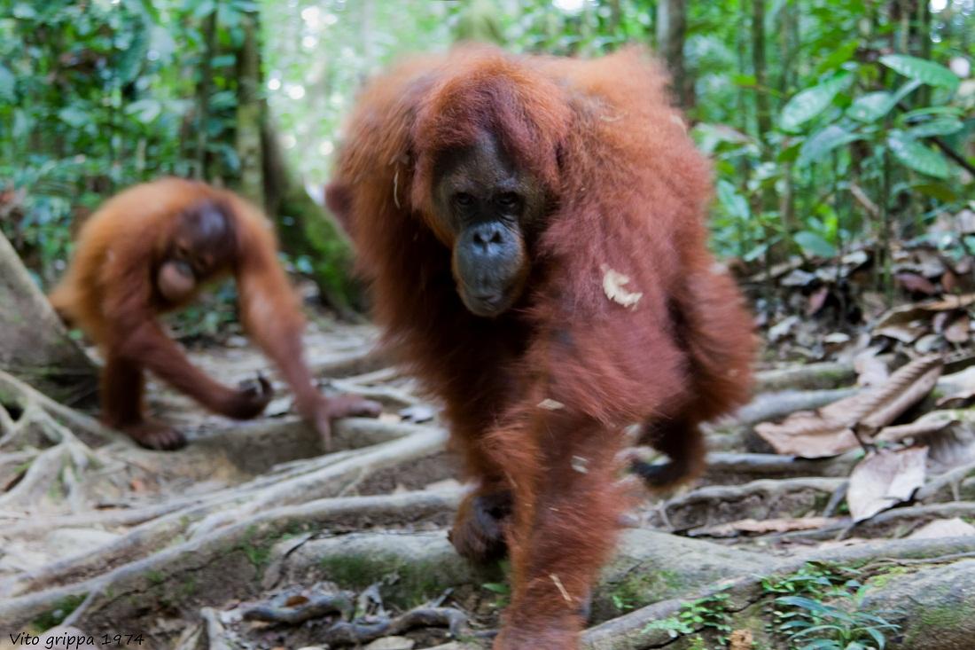 Reserve Semenggoh Kuthing (Sarawak Borneo)...