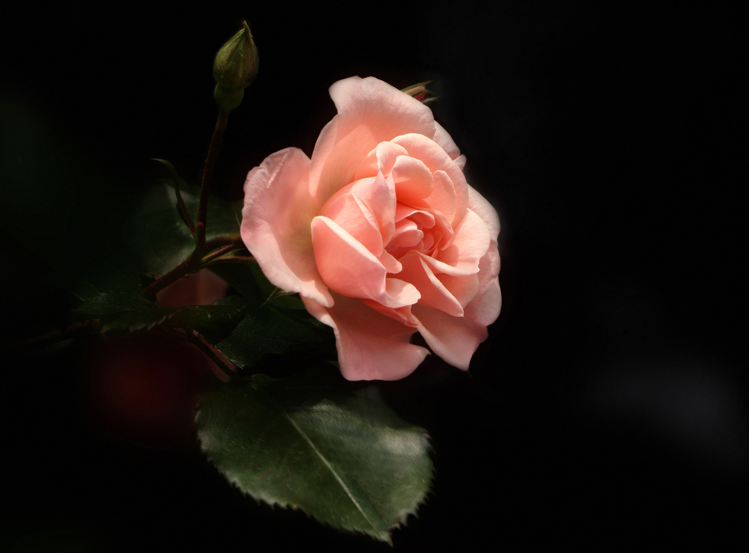 A rose and her skin....