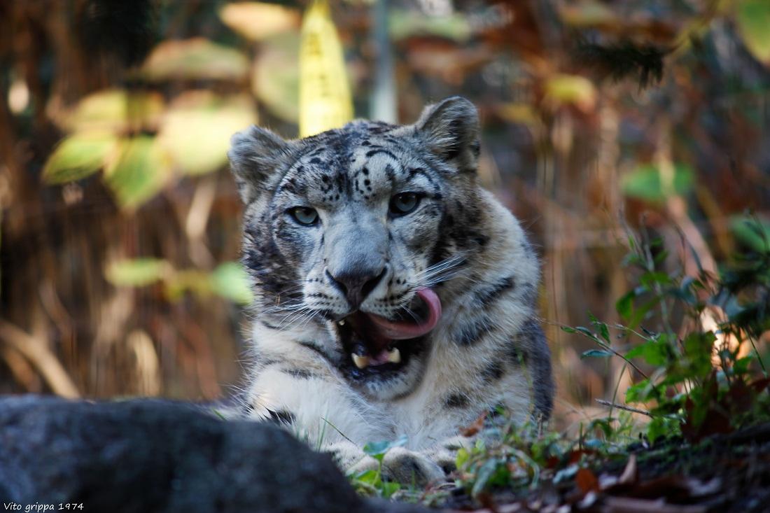 Snow Leopard (brooklyn zoo NY)...