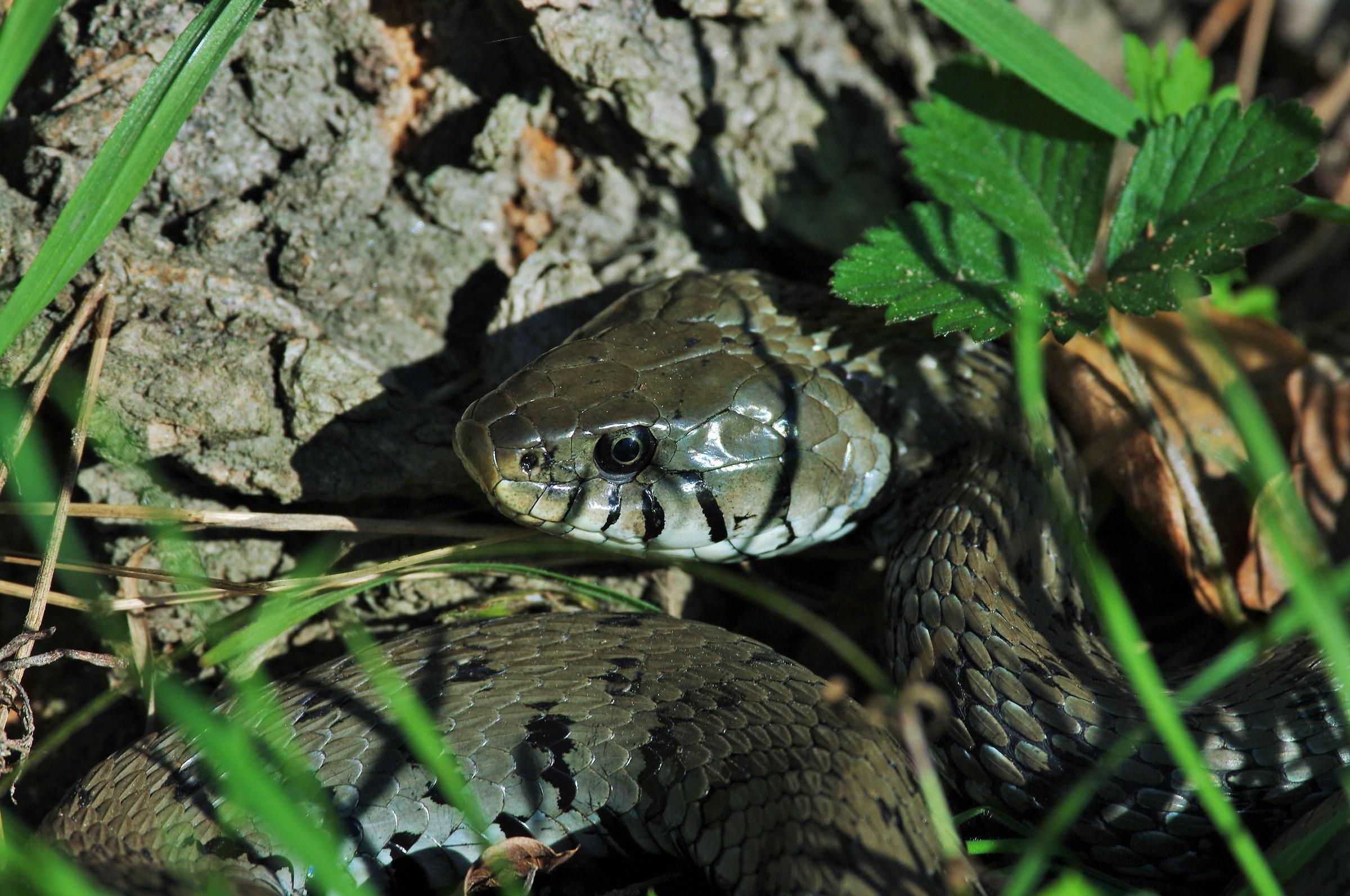 Grass snake (Natrix natrix)...