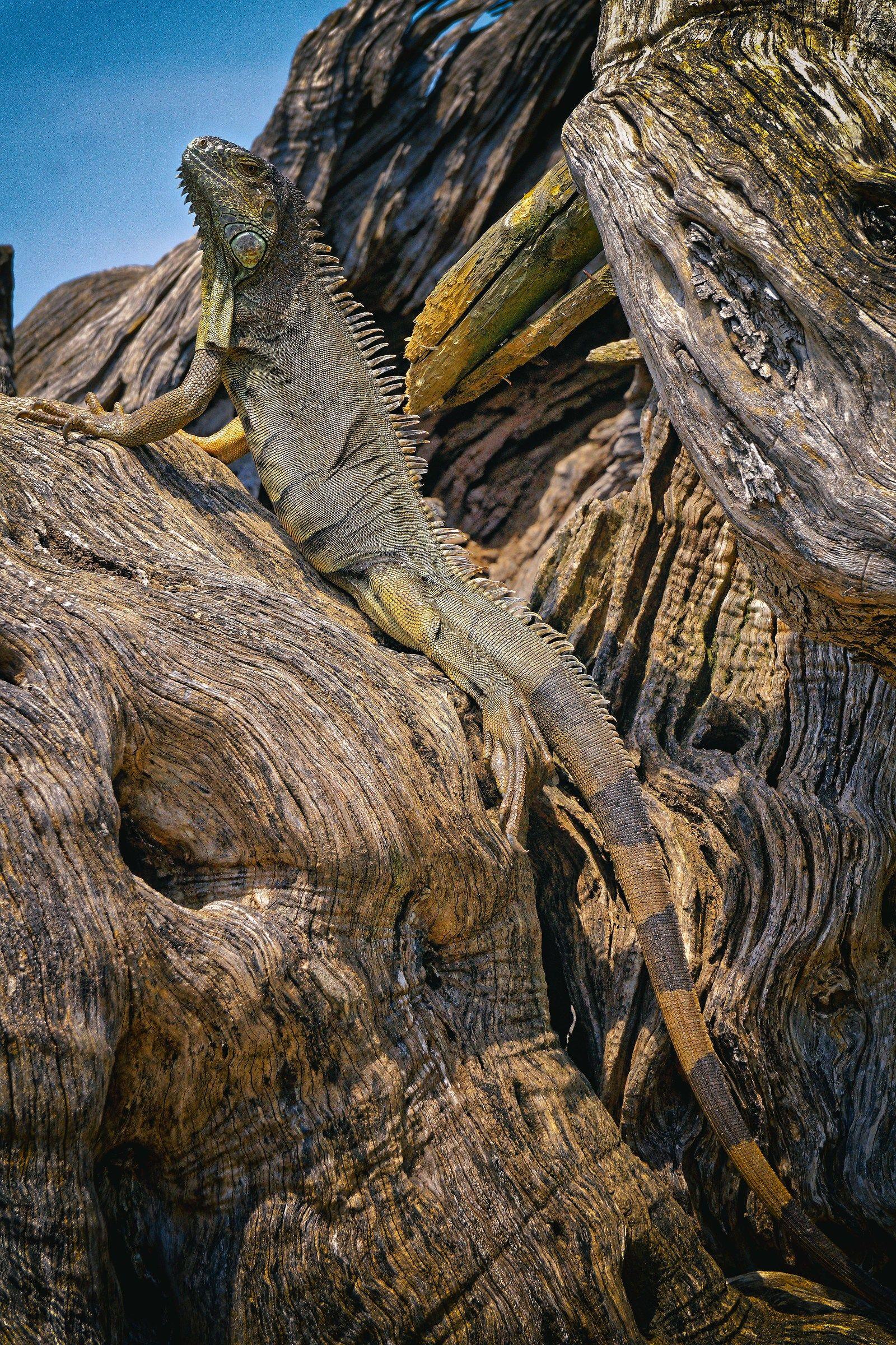 Camouflage Iguana...