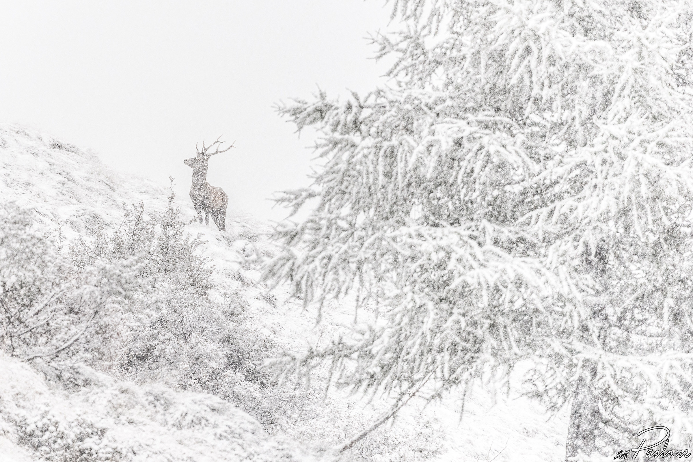 King under the snow II...