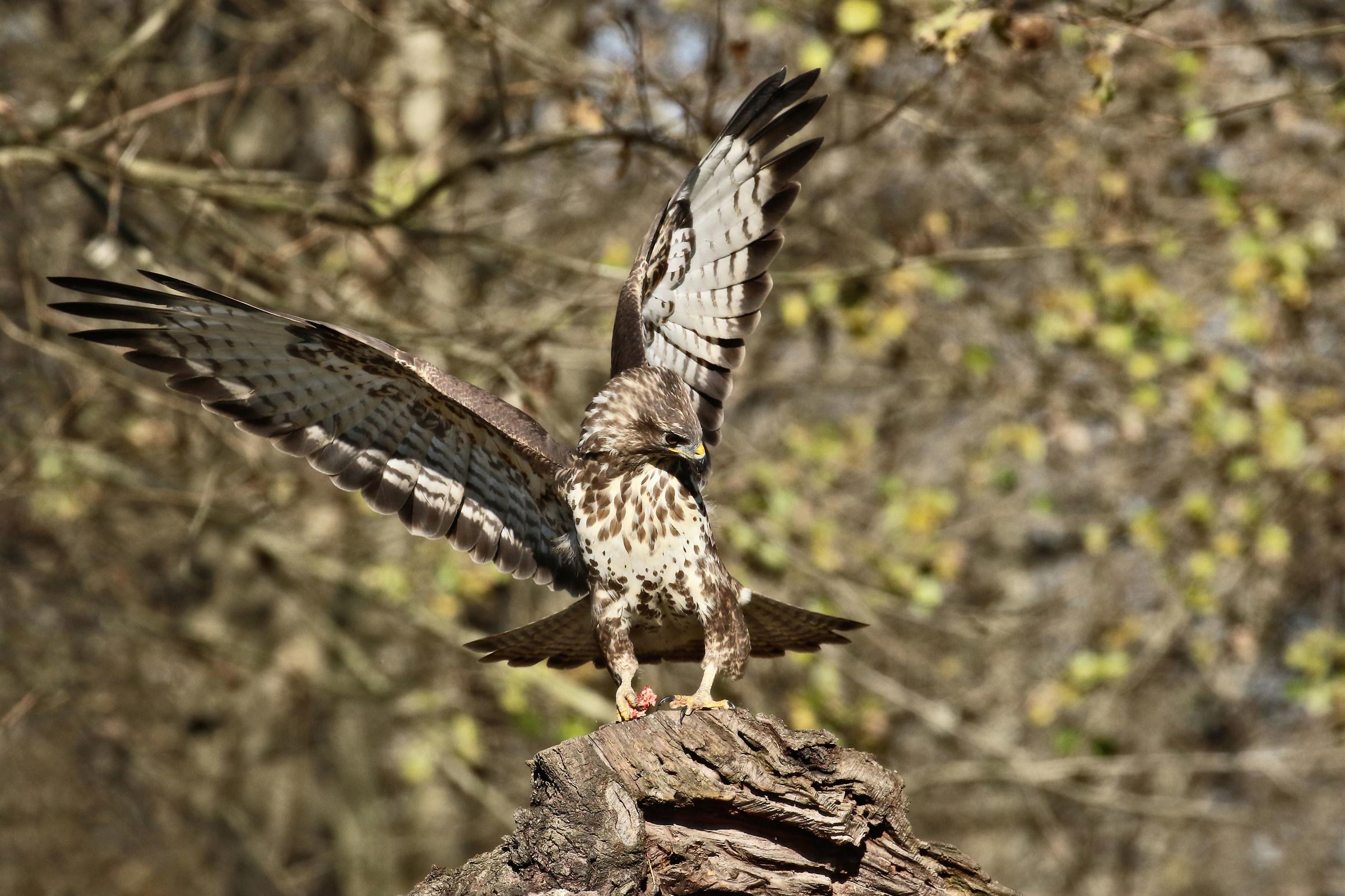 buzzard...