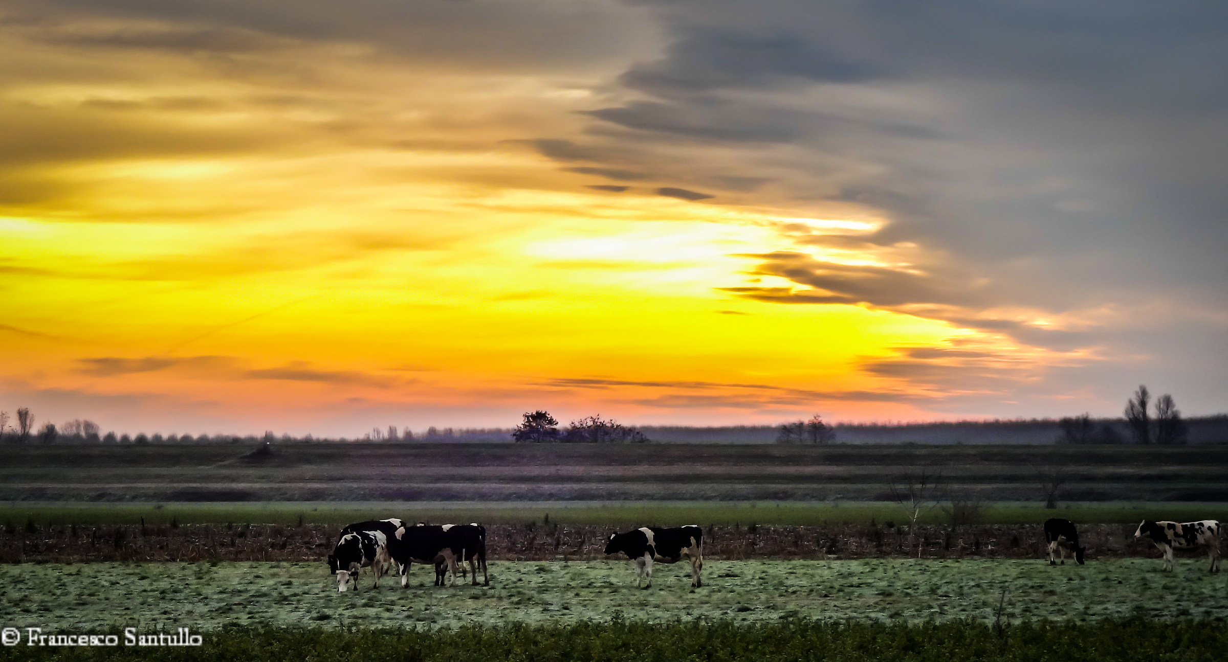 cows at dawn --- cows at dawn...