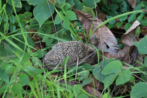 Un piccolo riccio in cerca di cibo juzaphoto - Riccio in giardino ...