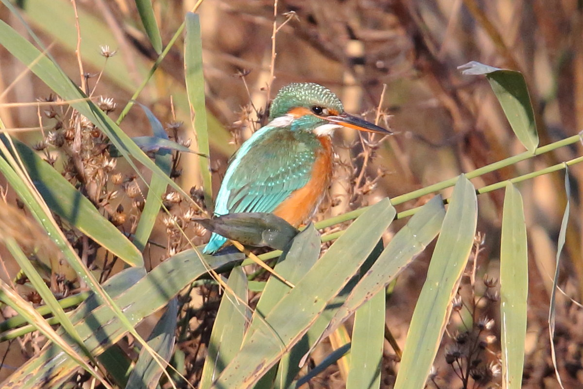 Kingfisher 11/26/2016...