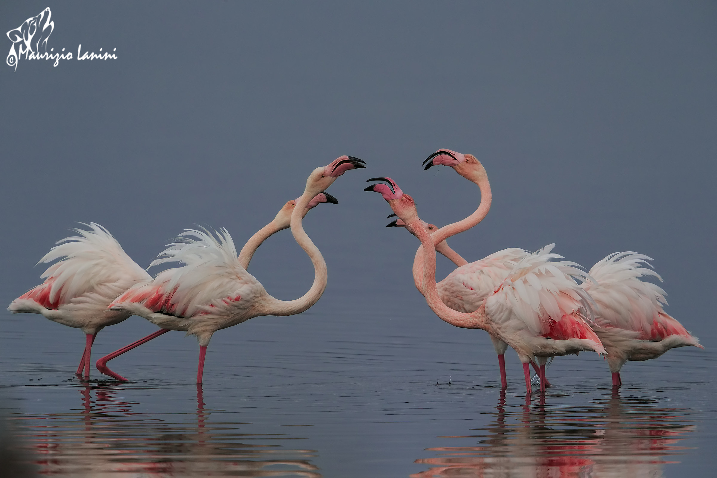 Disputes between flamingos (hd)...