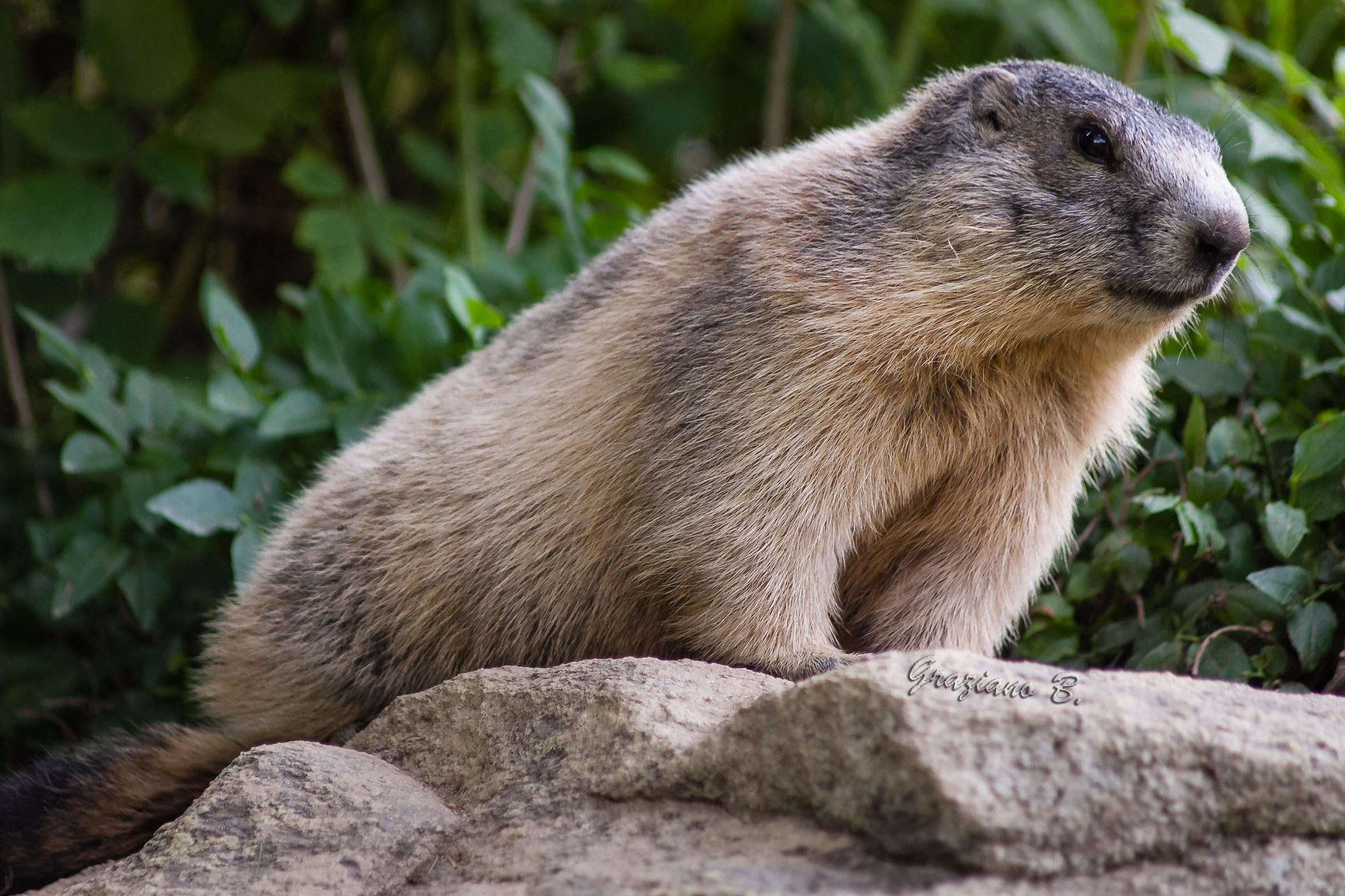 Marmot...