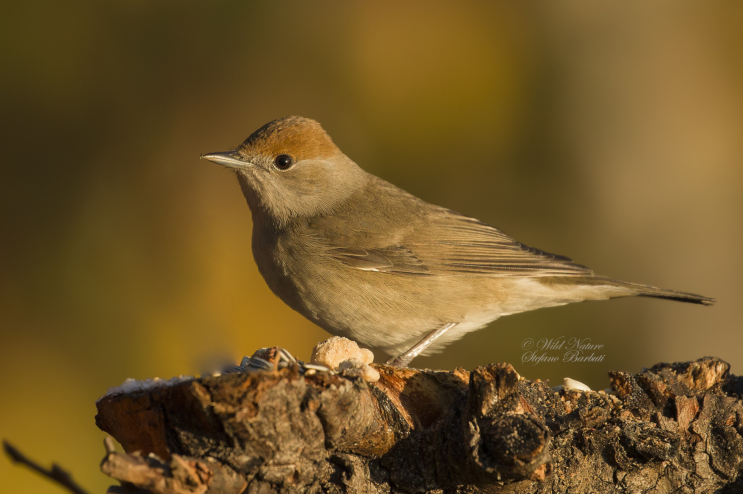 female blackcap...