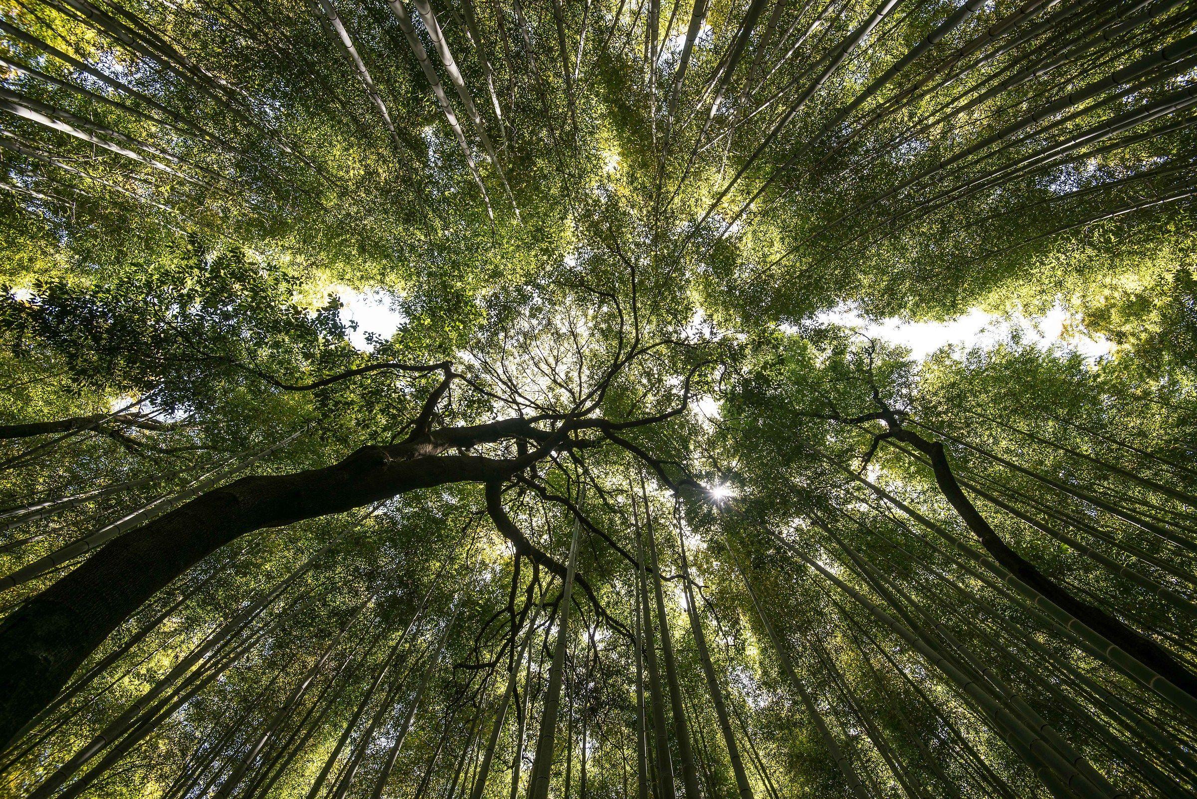 Bambu forest '...